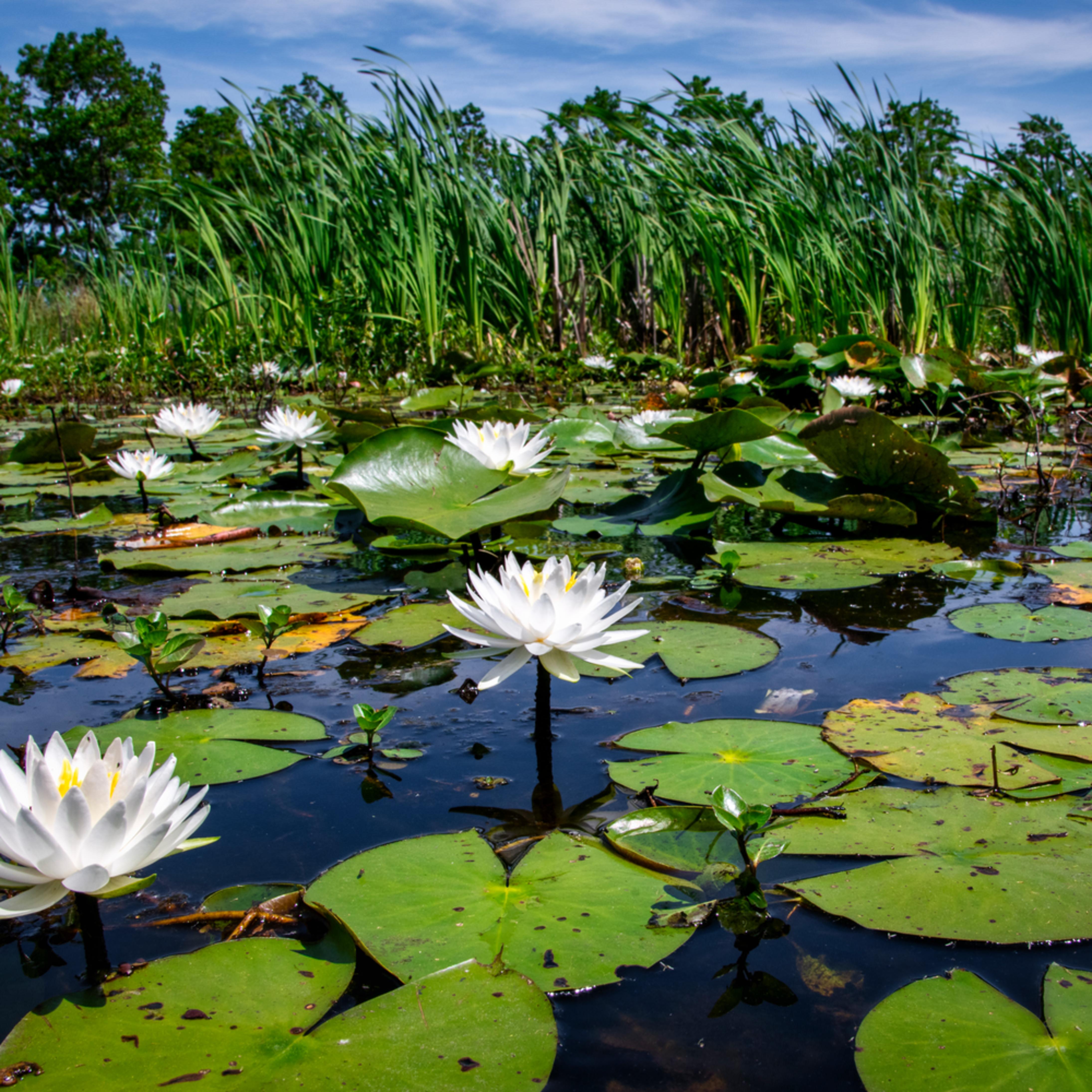 Andy crawford photography american lotus panoramic vista 1 bbkx78