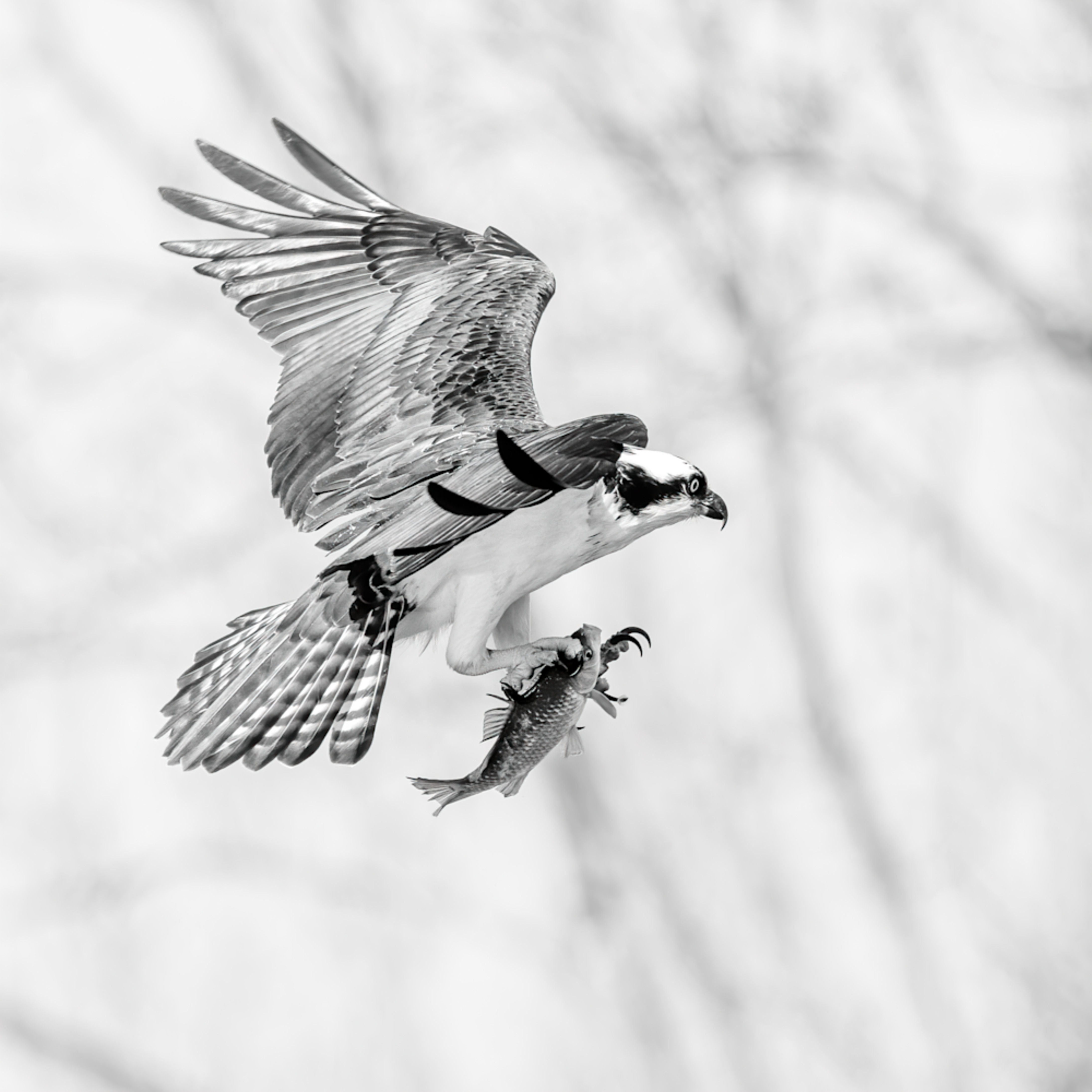 Osprey landing with fish in black and white 1 of 1 t1rn8f