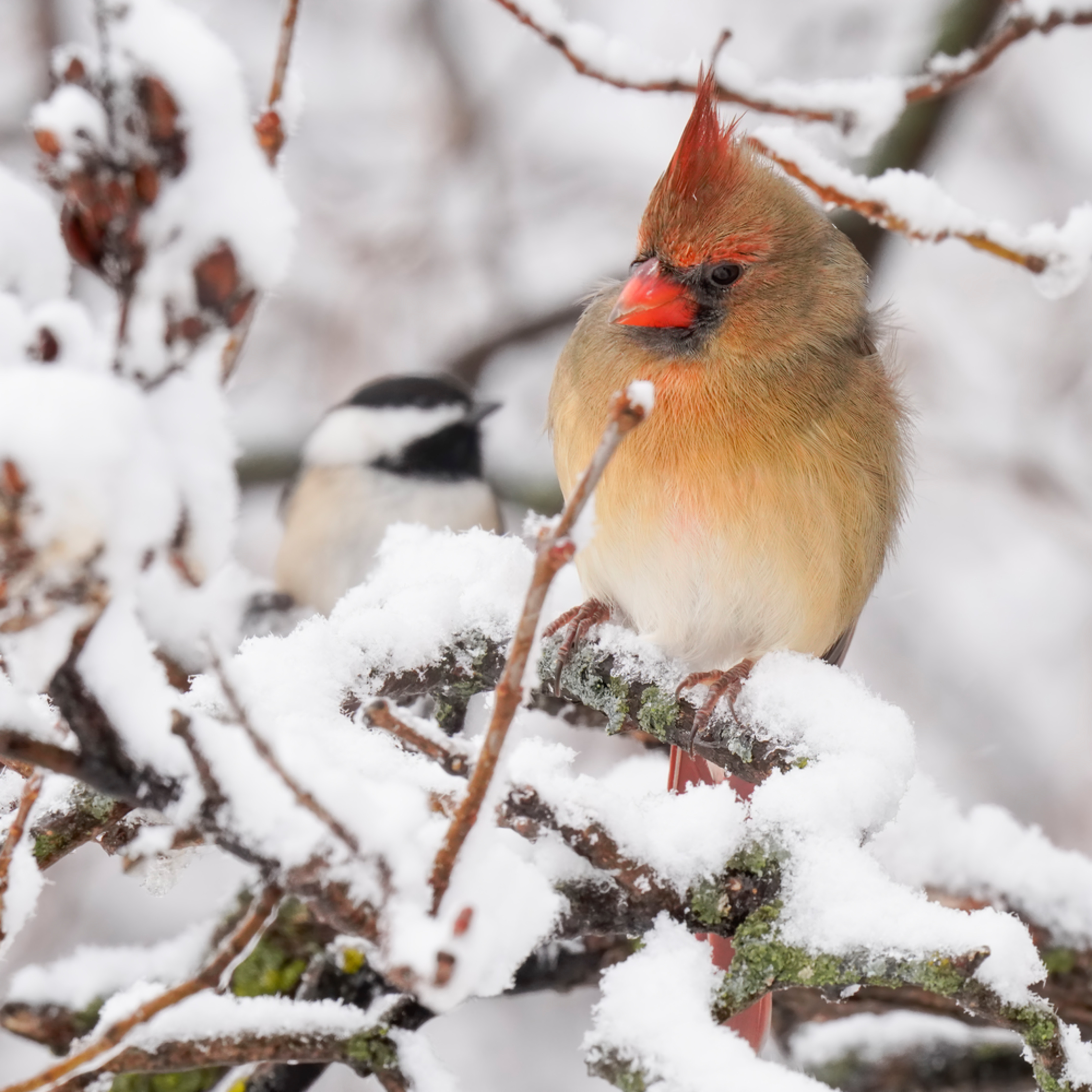 Cardinal and chickadee in the snow bvpnxb