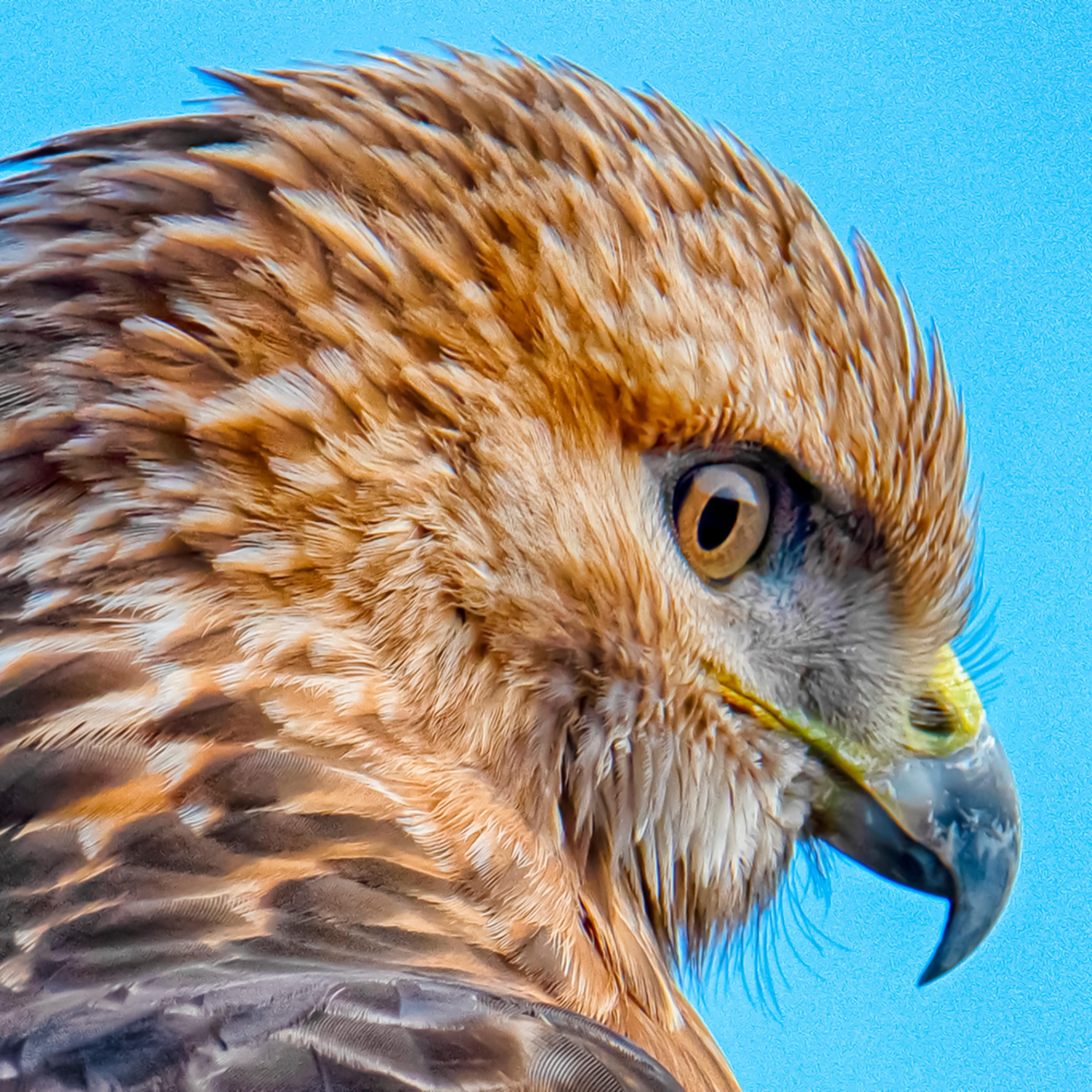 Red tail hawk closeup qgvrk9