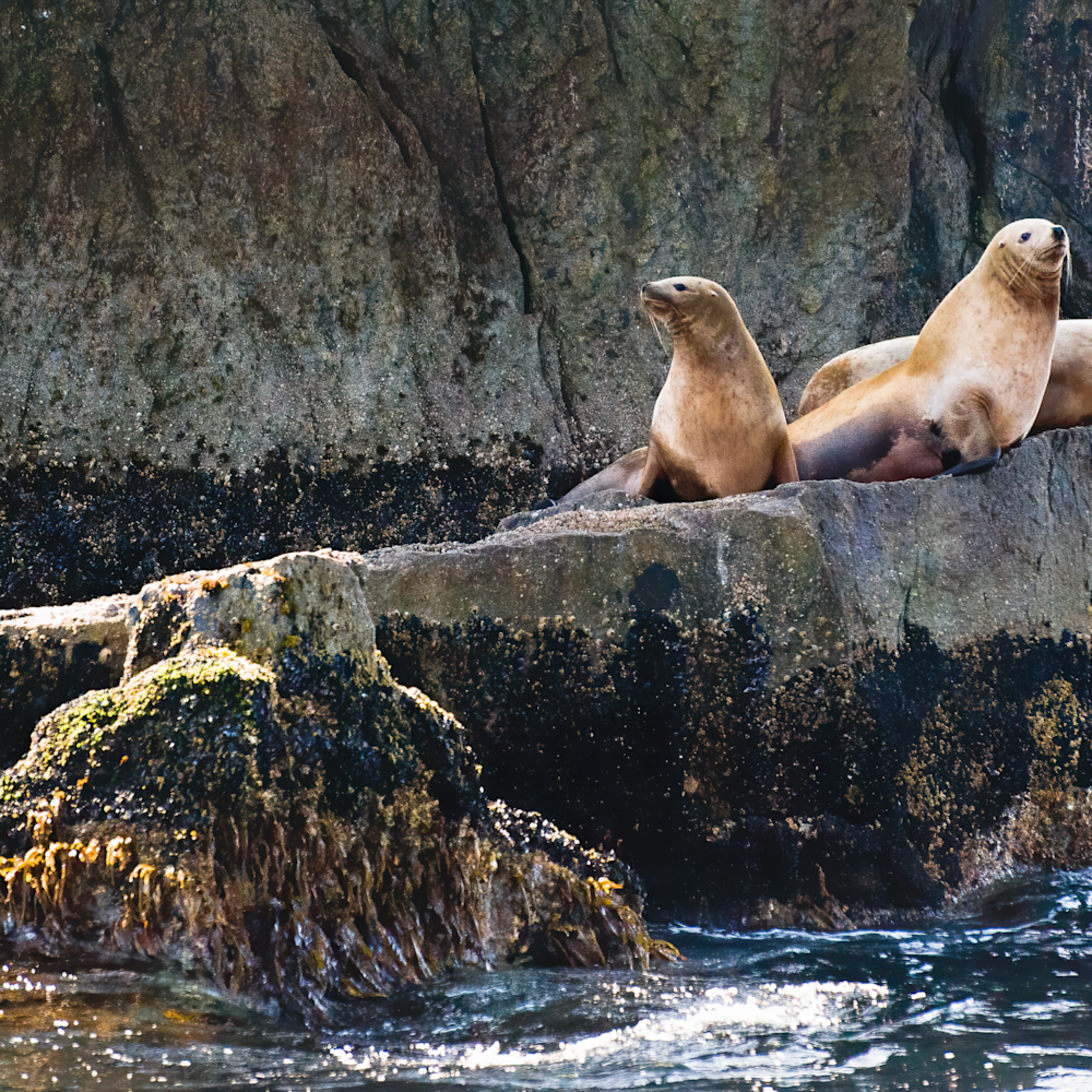 Steller sea lions larry curly and mo 2 edit edit yrw4kn