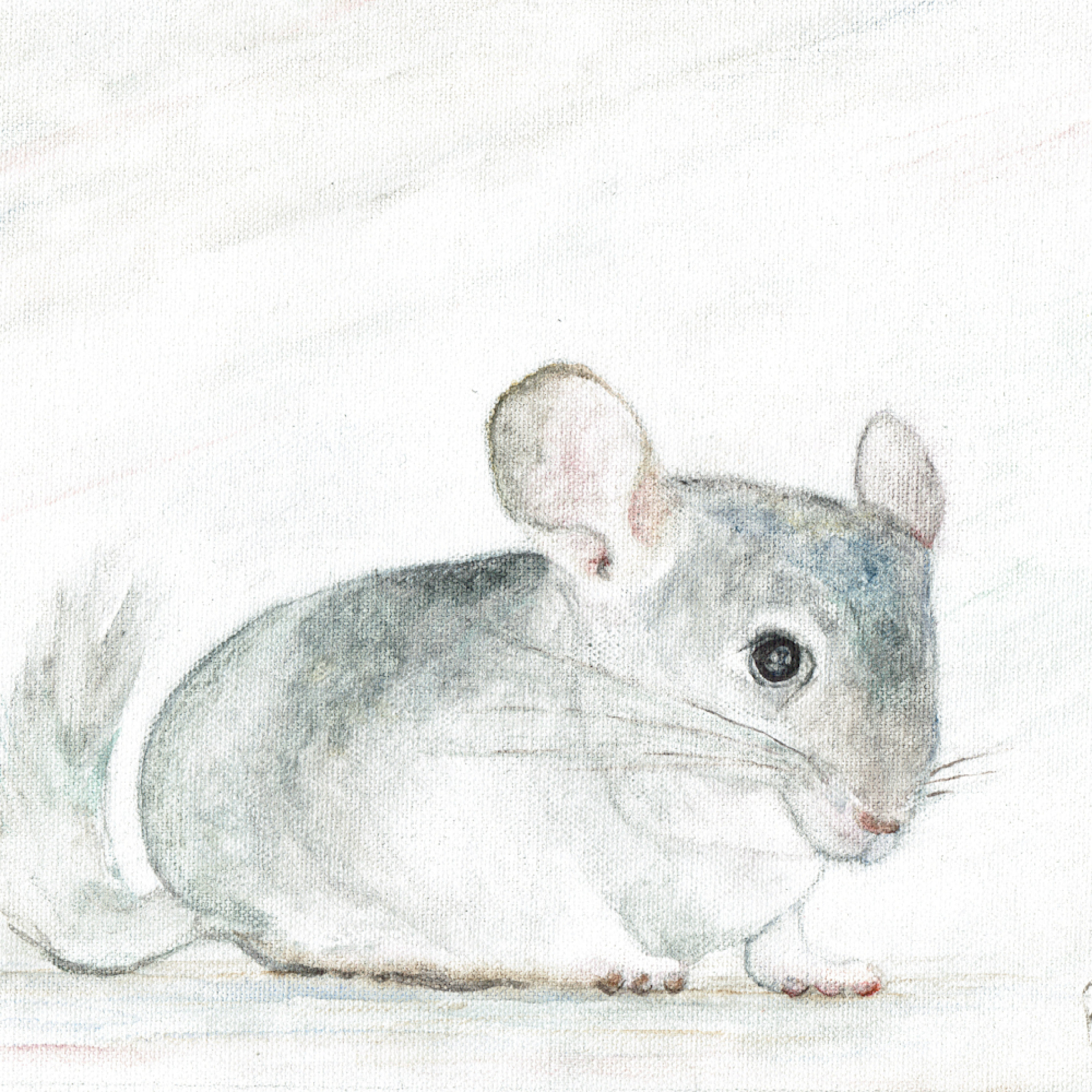 Chinchilla zgyxue
