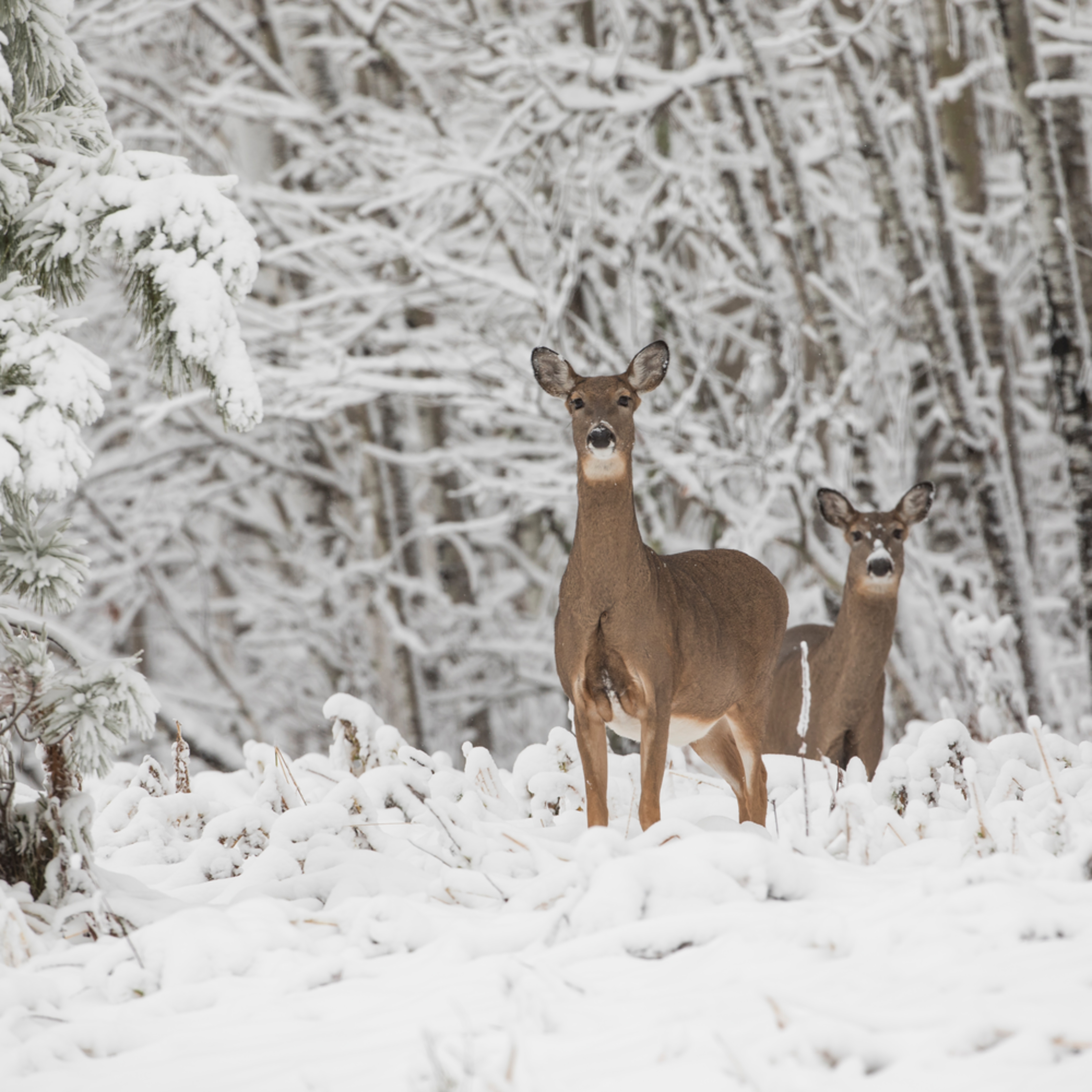 Whitetail deer in minnesota winterscapes fbs6k4