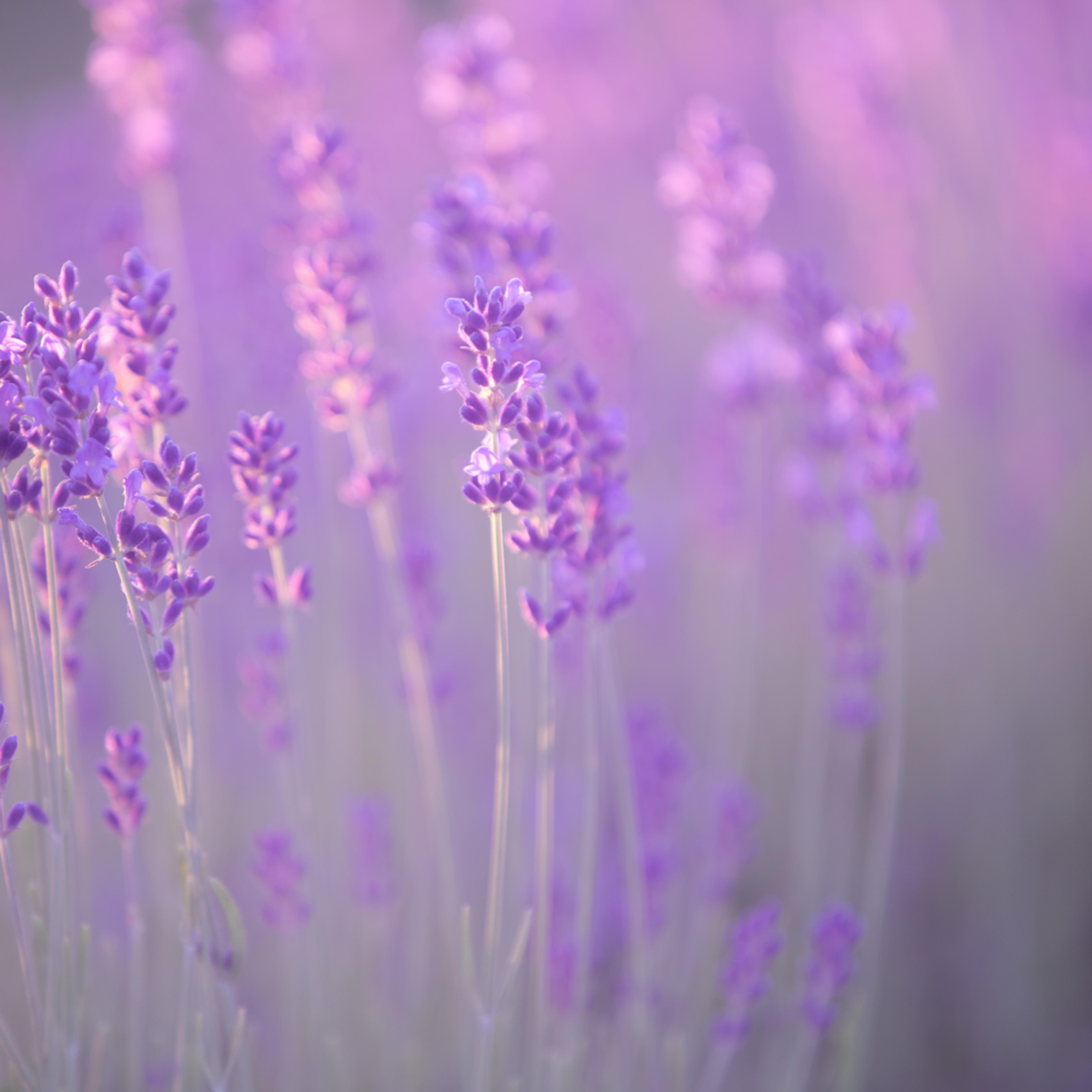 Lavender breeze k8bewu