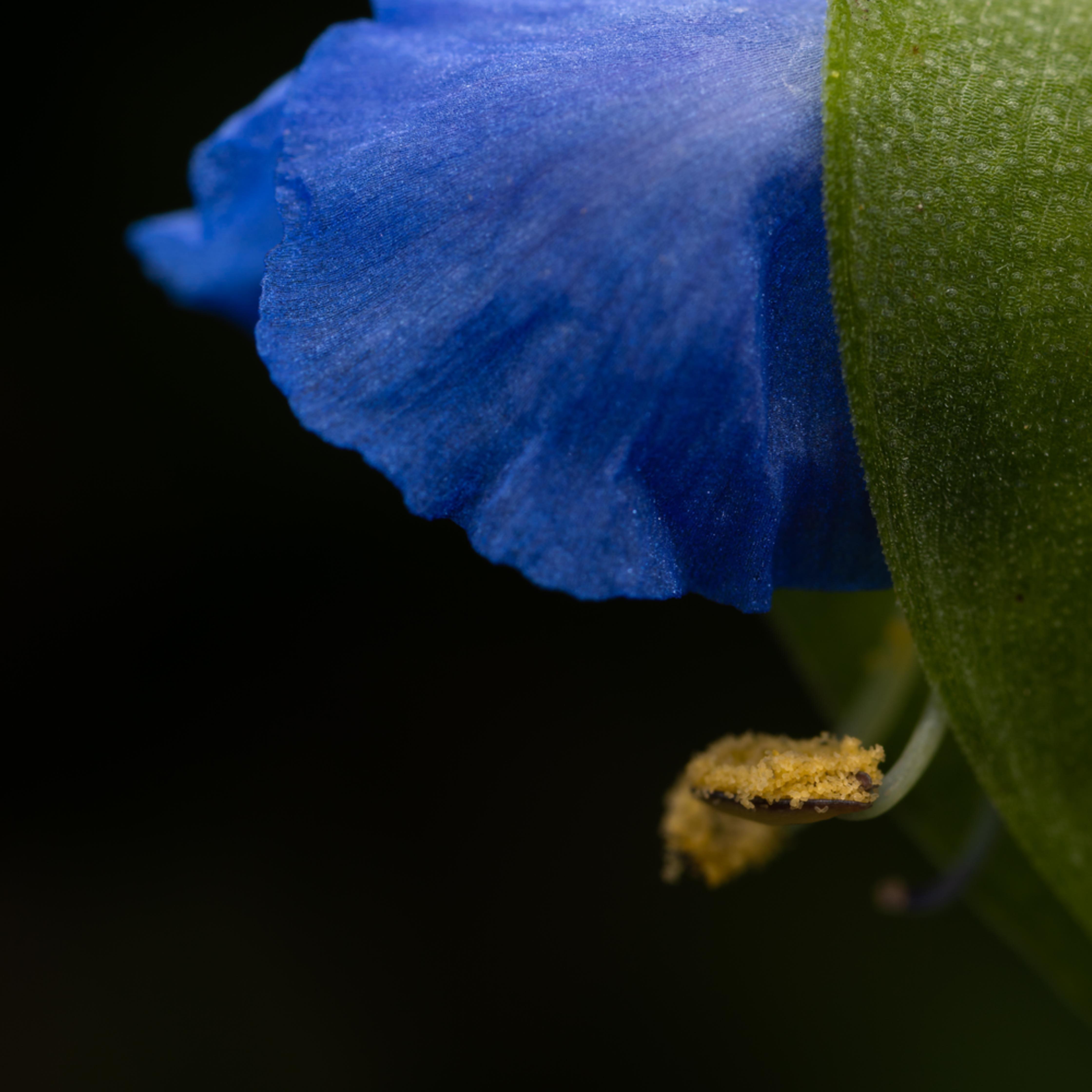 Asiatic dayflower e33526 rv5thb