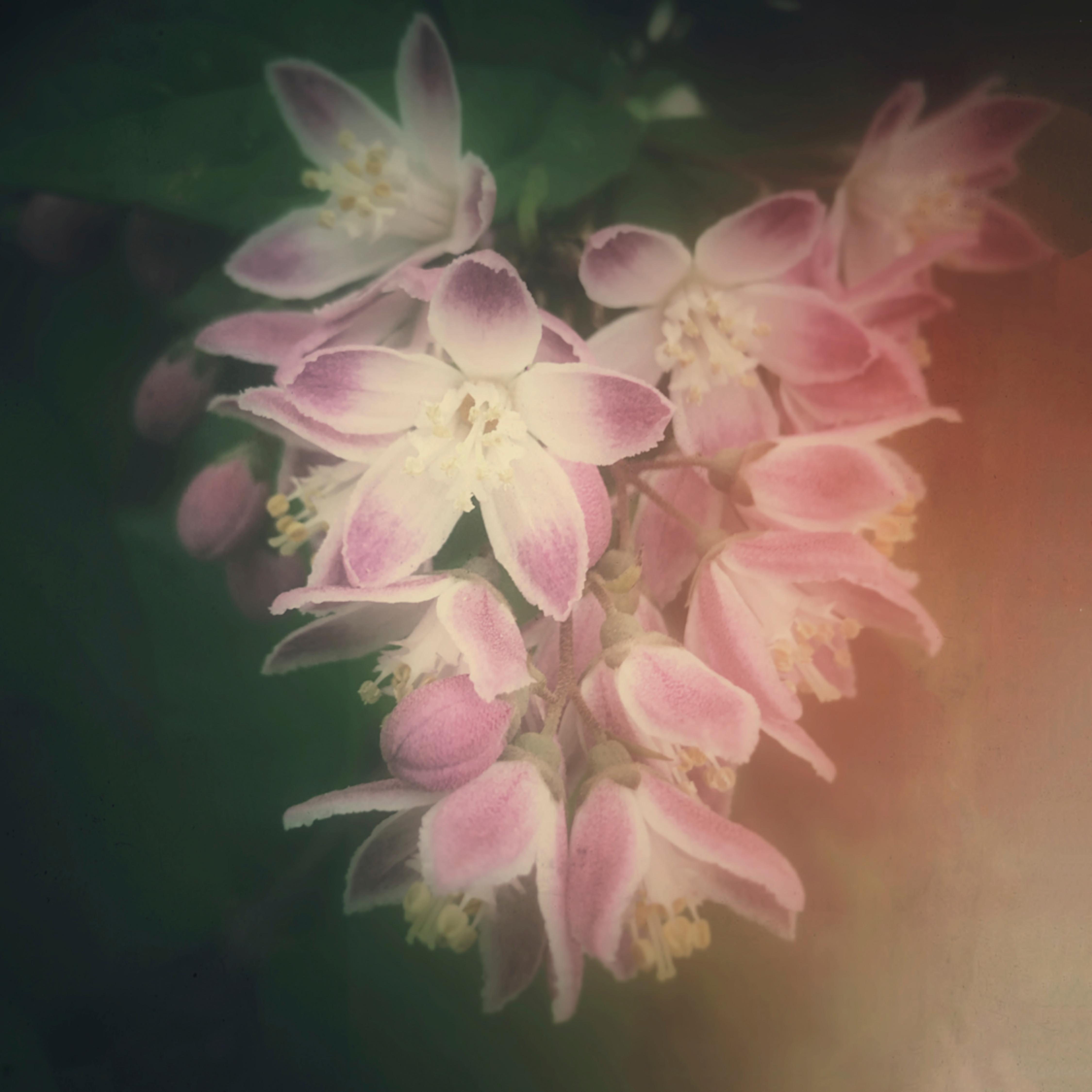 Pink cluster blooms vdbibs