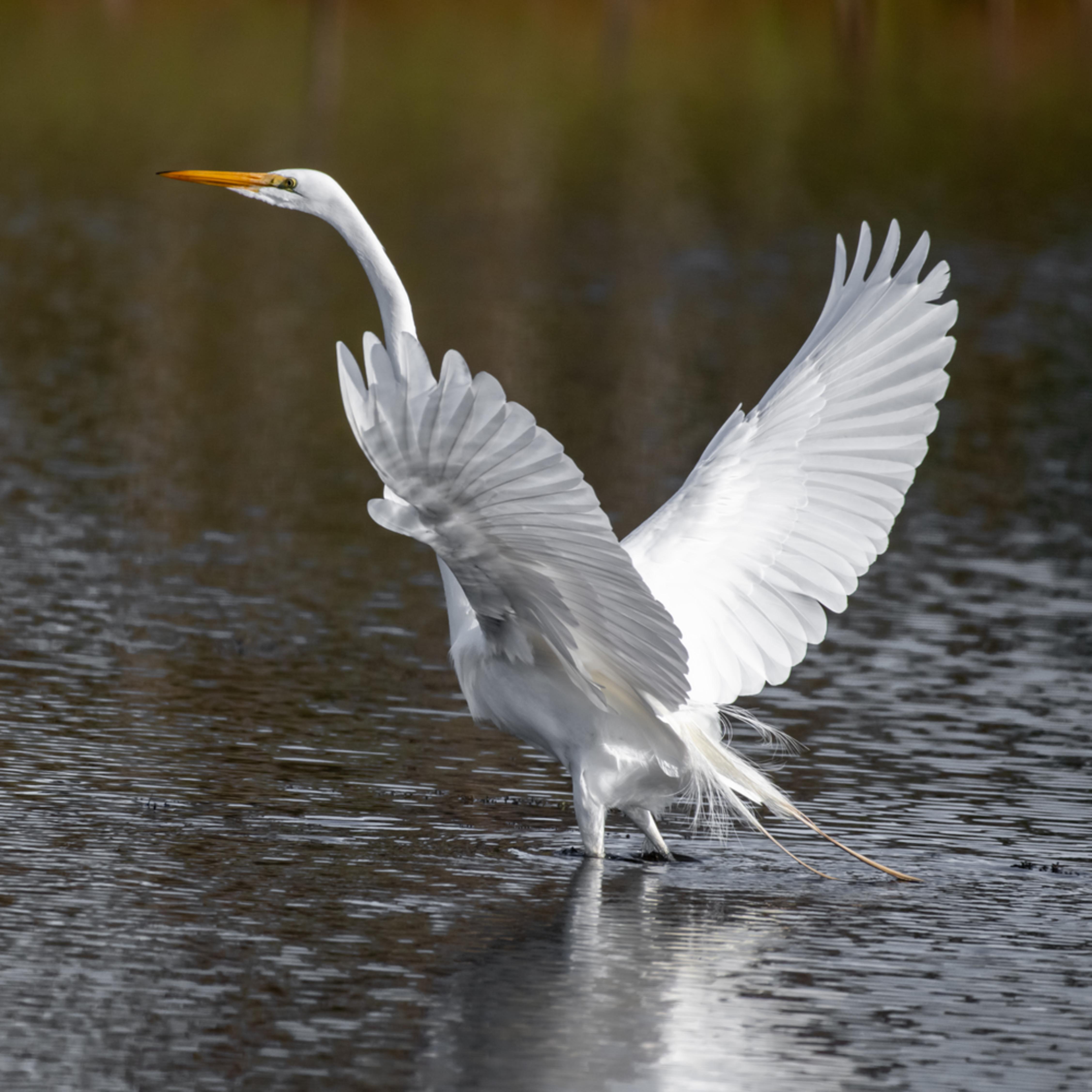 Egret portraits spencer great egret asfprint pepbre