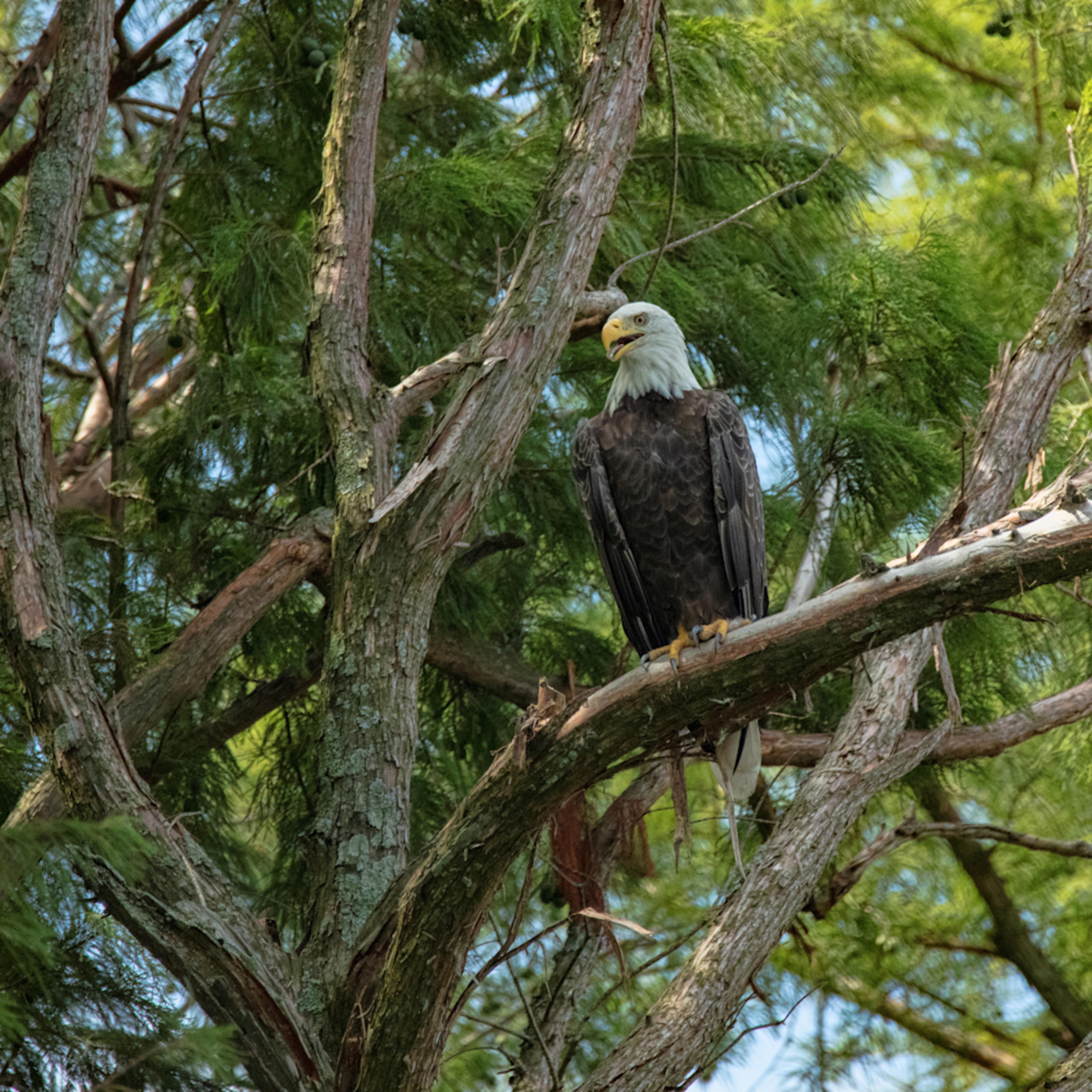 Bald eagle tree 9174 fss tspjys