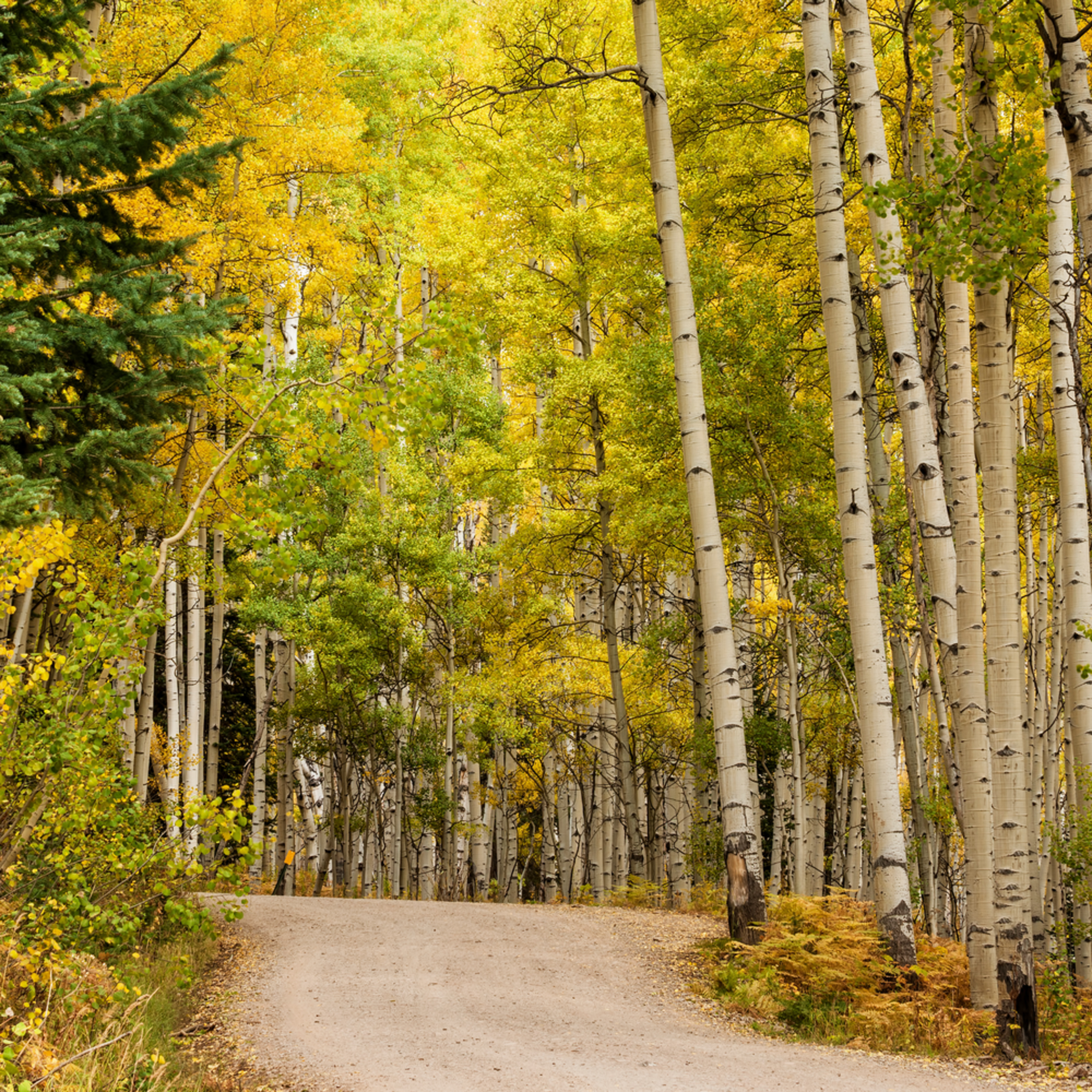 A road through the aspens gigapixel scale 1 40x epjpdm