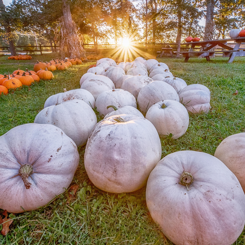 Morning glory white pumpkins kfwudp
