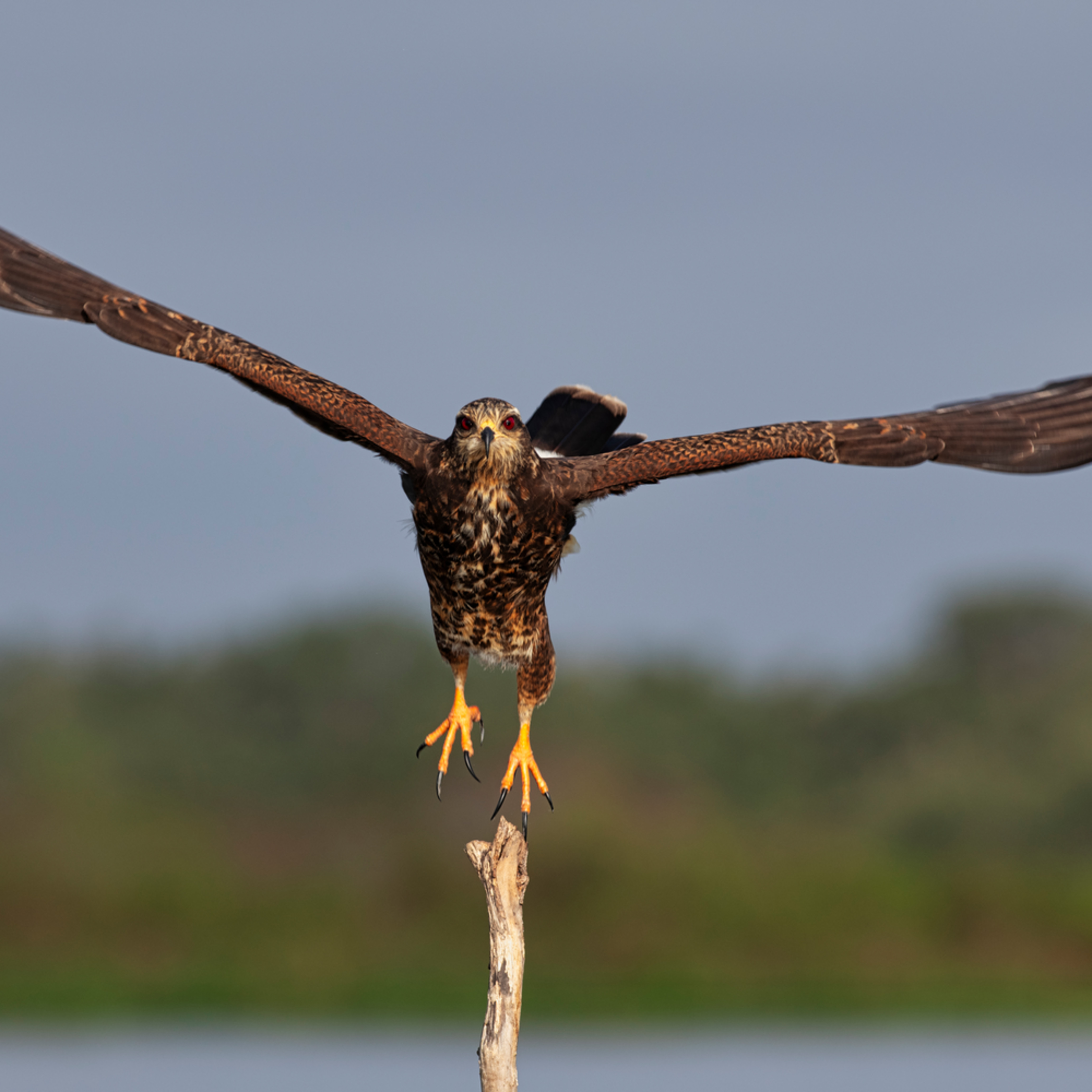Andy crawford photography snail kite 4 rs6uaf
