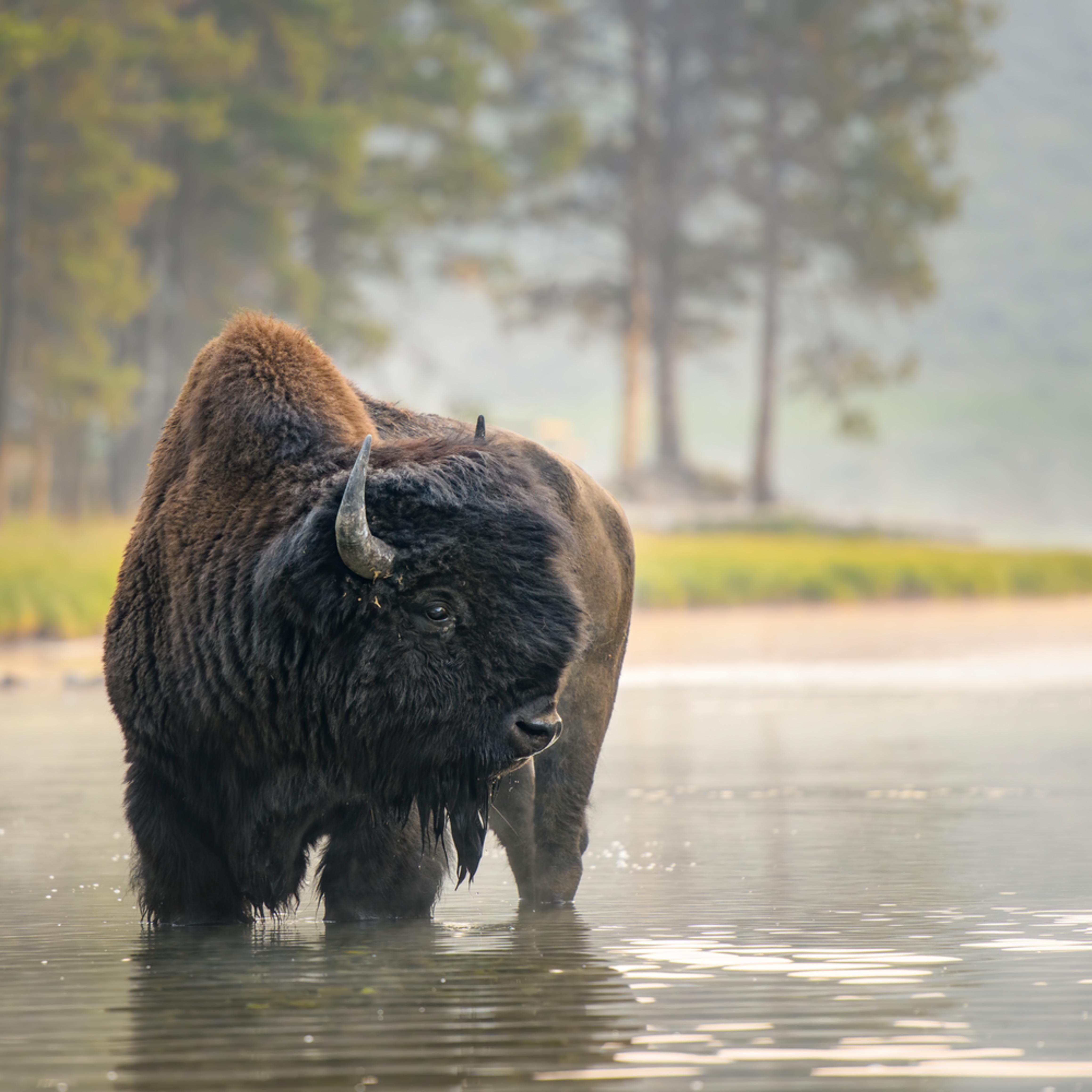 Bull bison at nez perce ford x2152 1.5  6952 x 4635 j100argb s2blko100p5h5v2rt 20200926 1118 feon7n