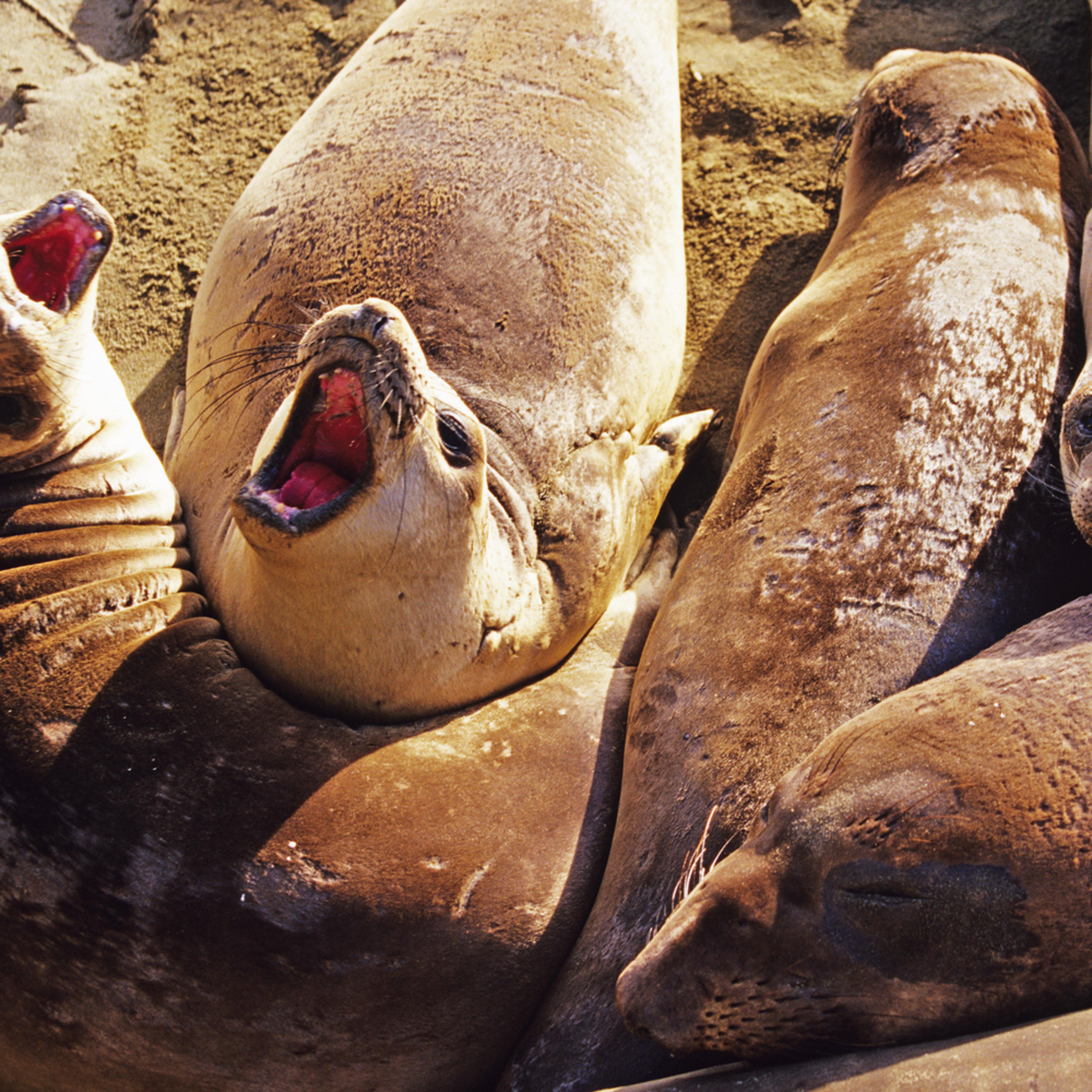 Elephant seals ujp9fg