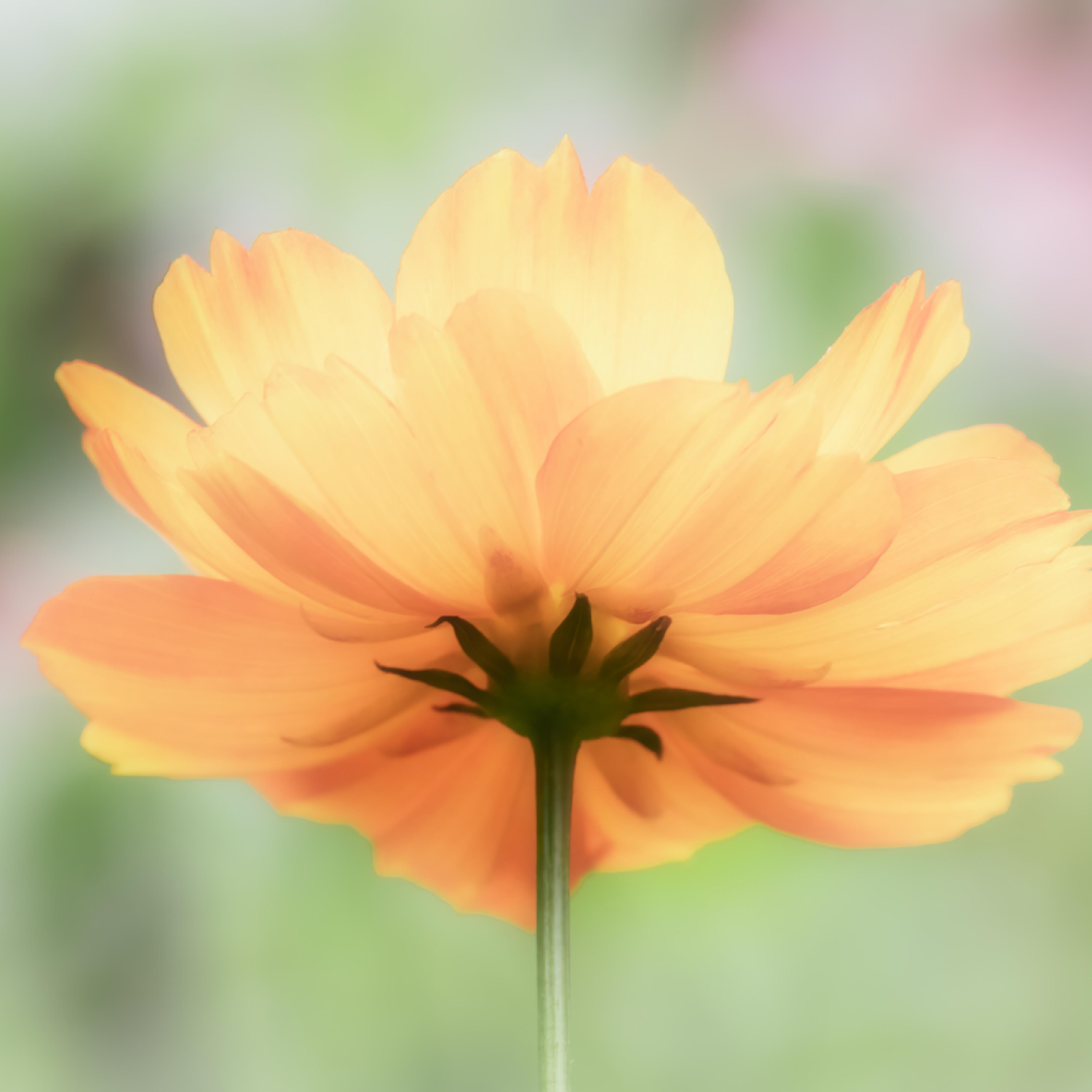 Orange flower on pastel background   8 by 10 bau8v0