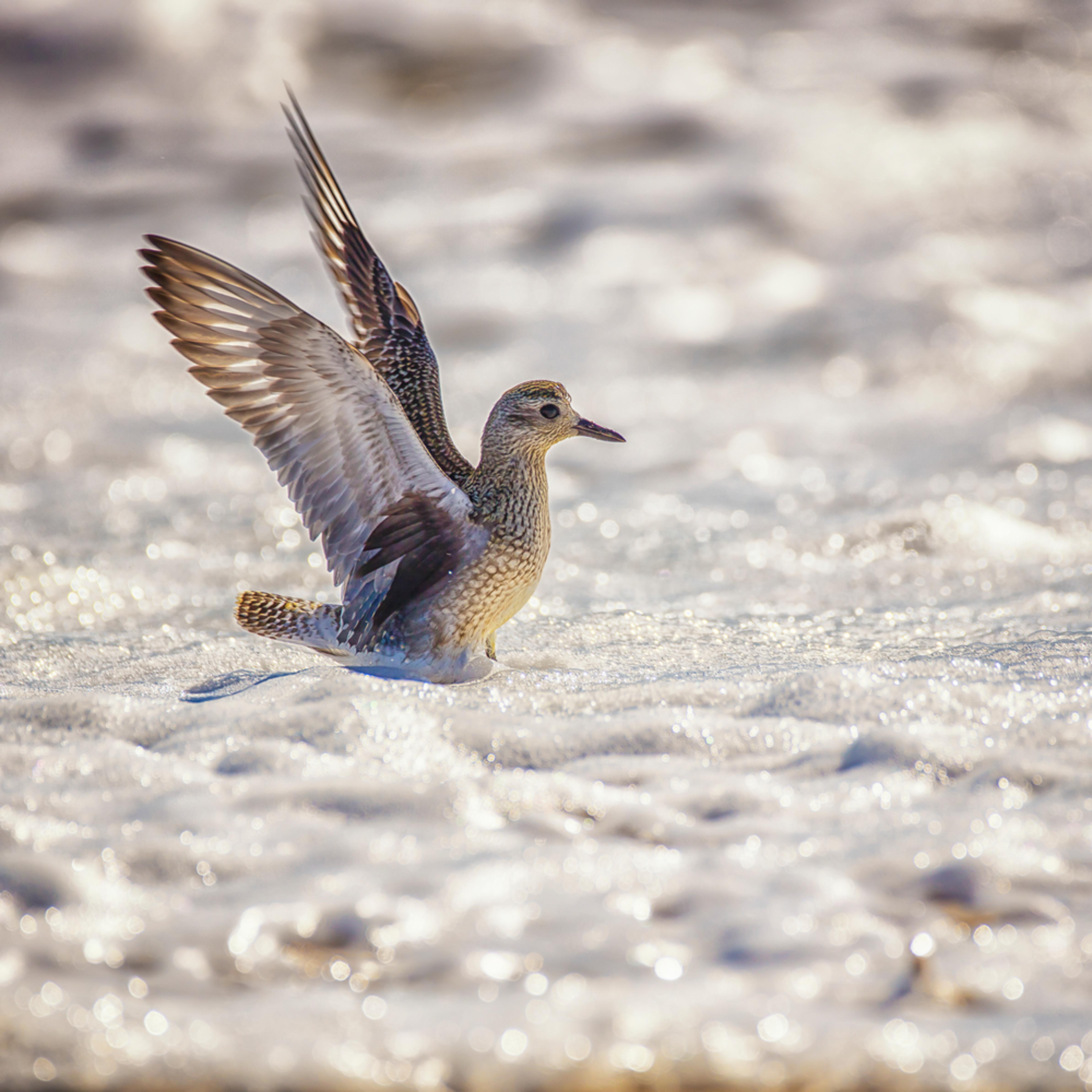Long point blue sanderling surf wix9wb