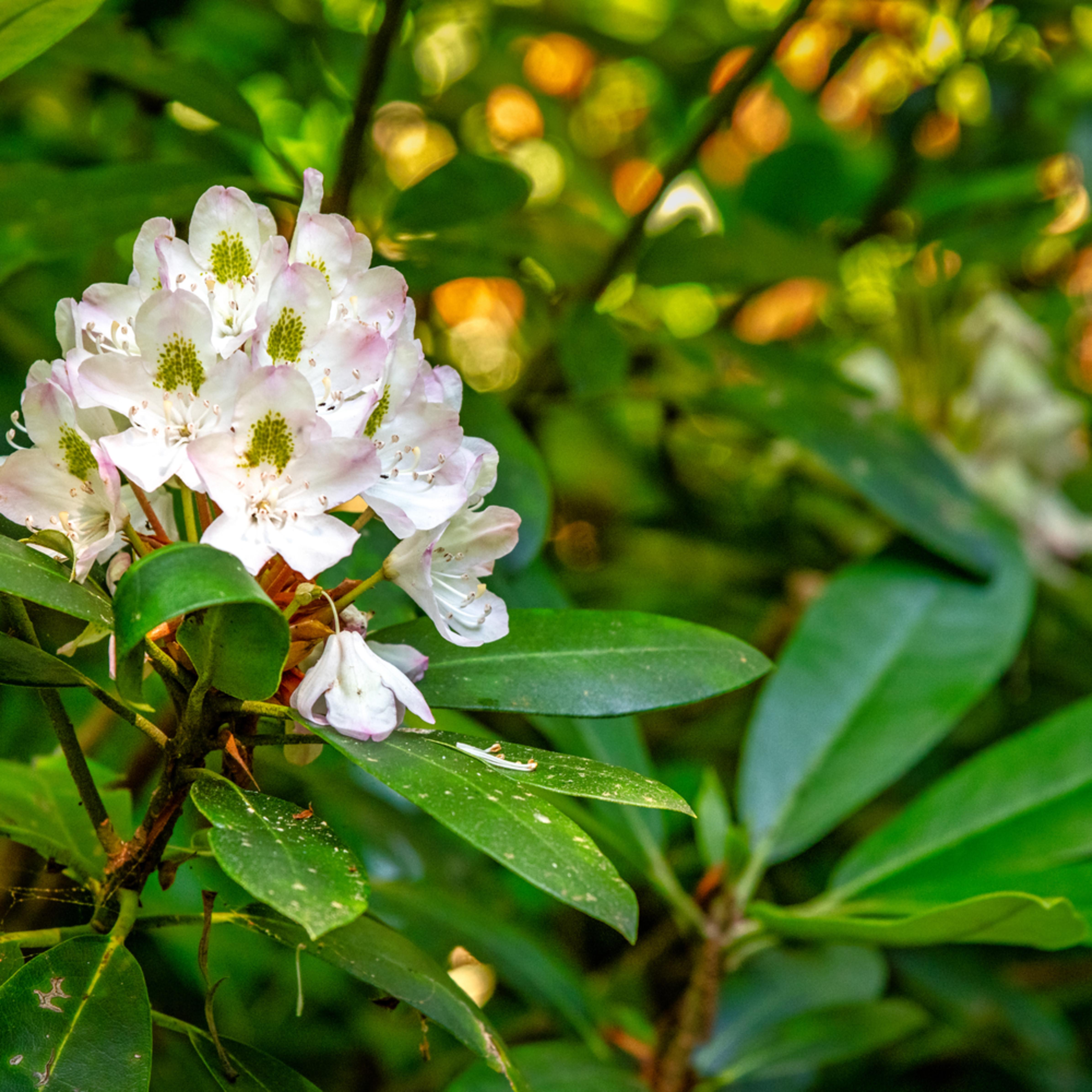 Andy crawford photography nantahala mountains rhododendron uralgp