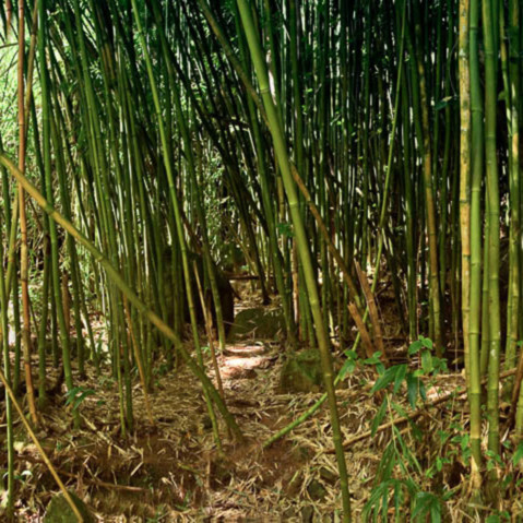 Bamboo forest pano t0r7bf