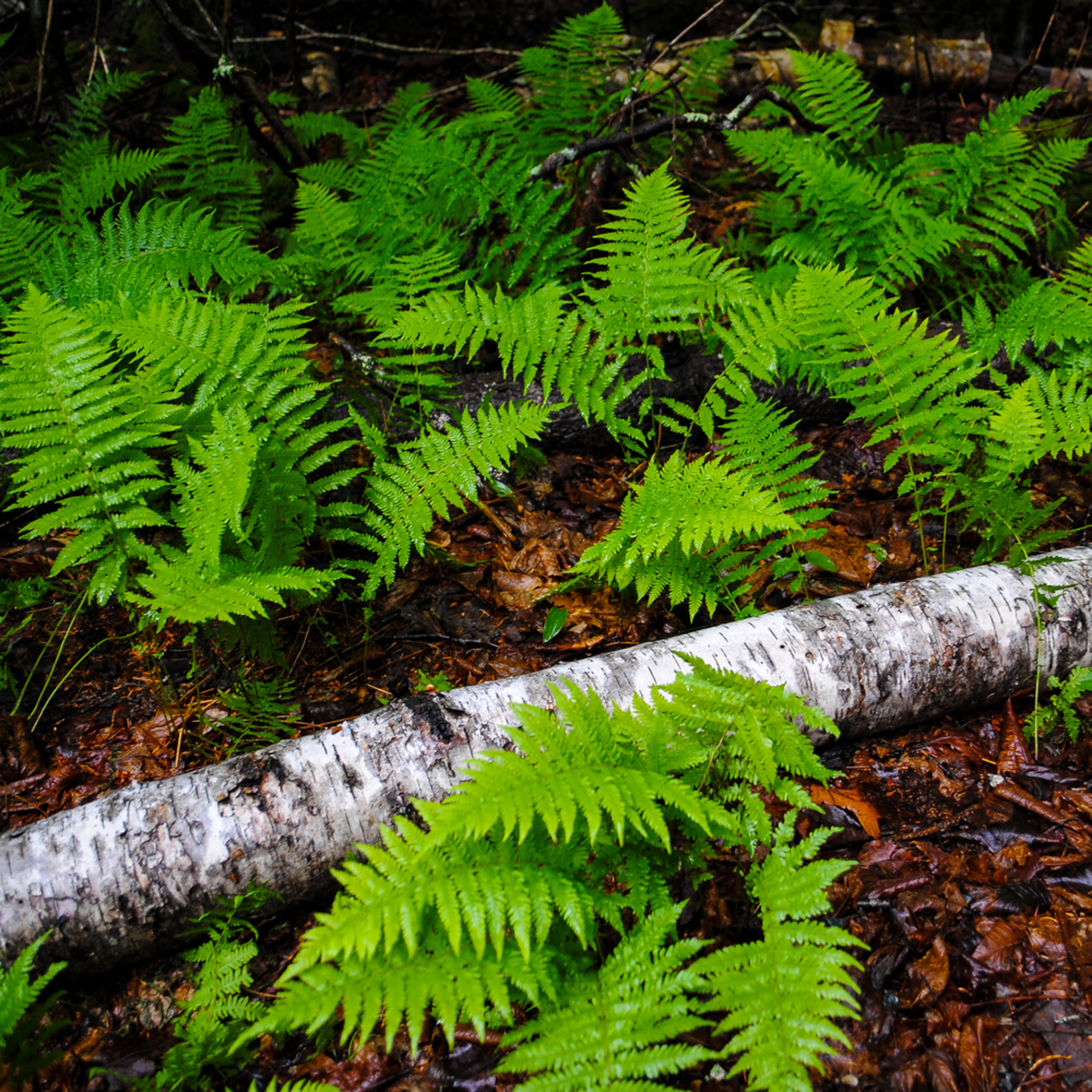 Fallen white birch among ferns d8hq9g