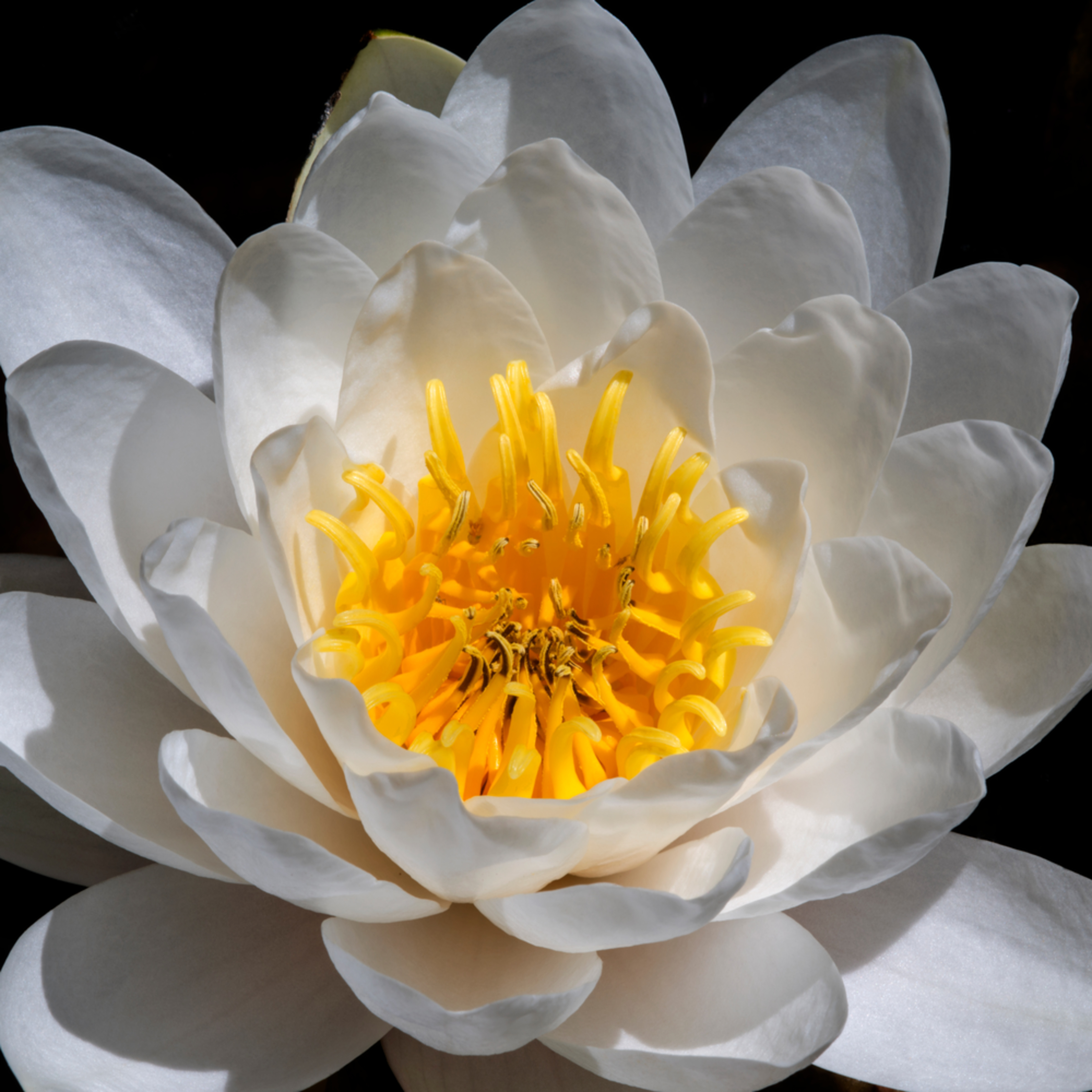 Dp434 ch water lilly d6x4h4