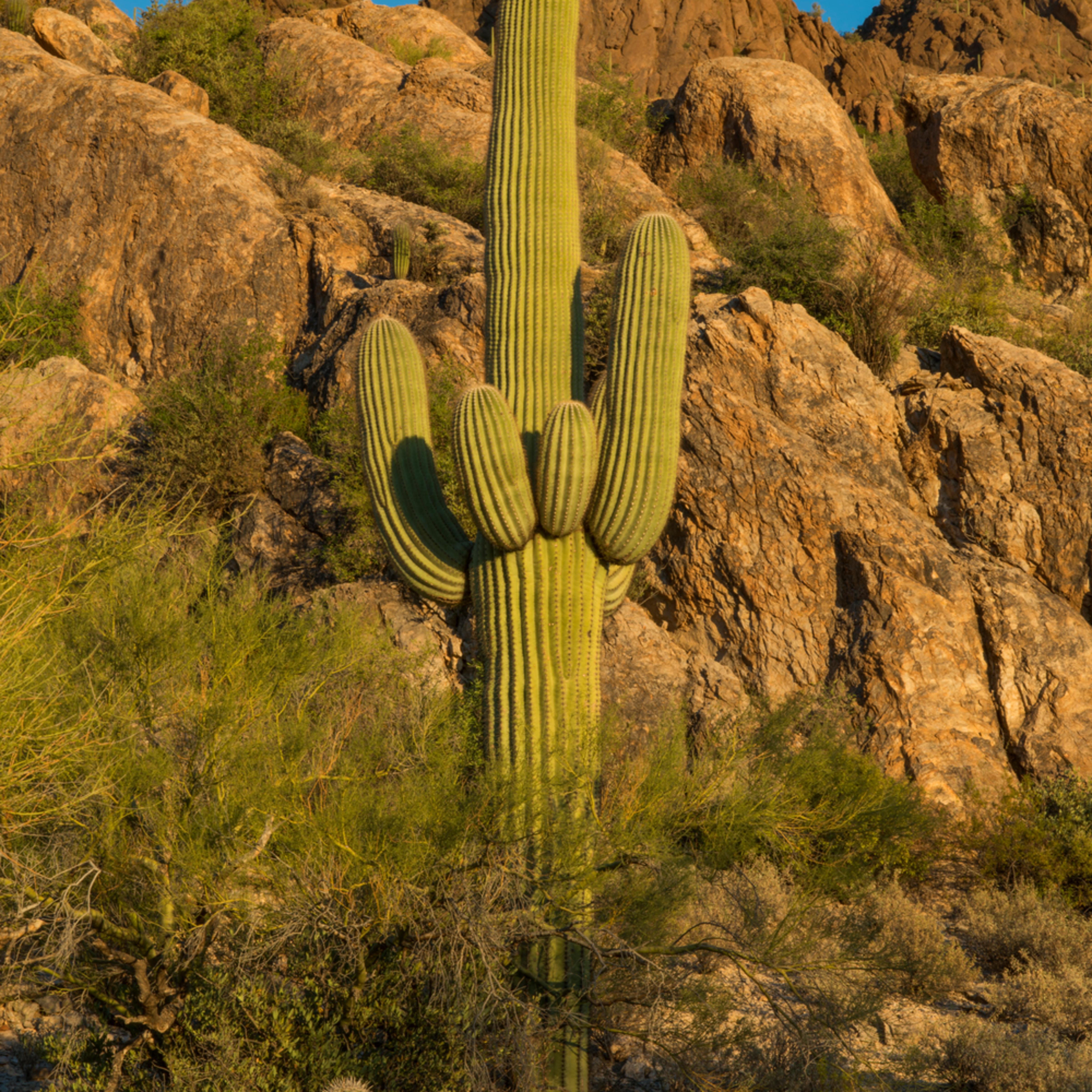 Dp498 cat mountian saguaro c8ygyk
