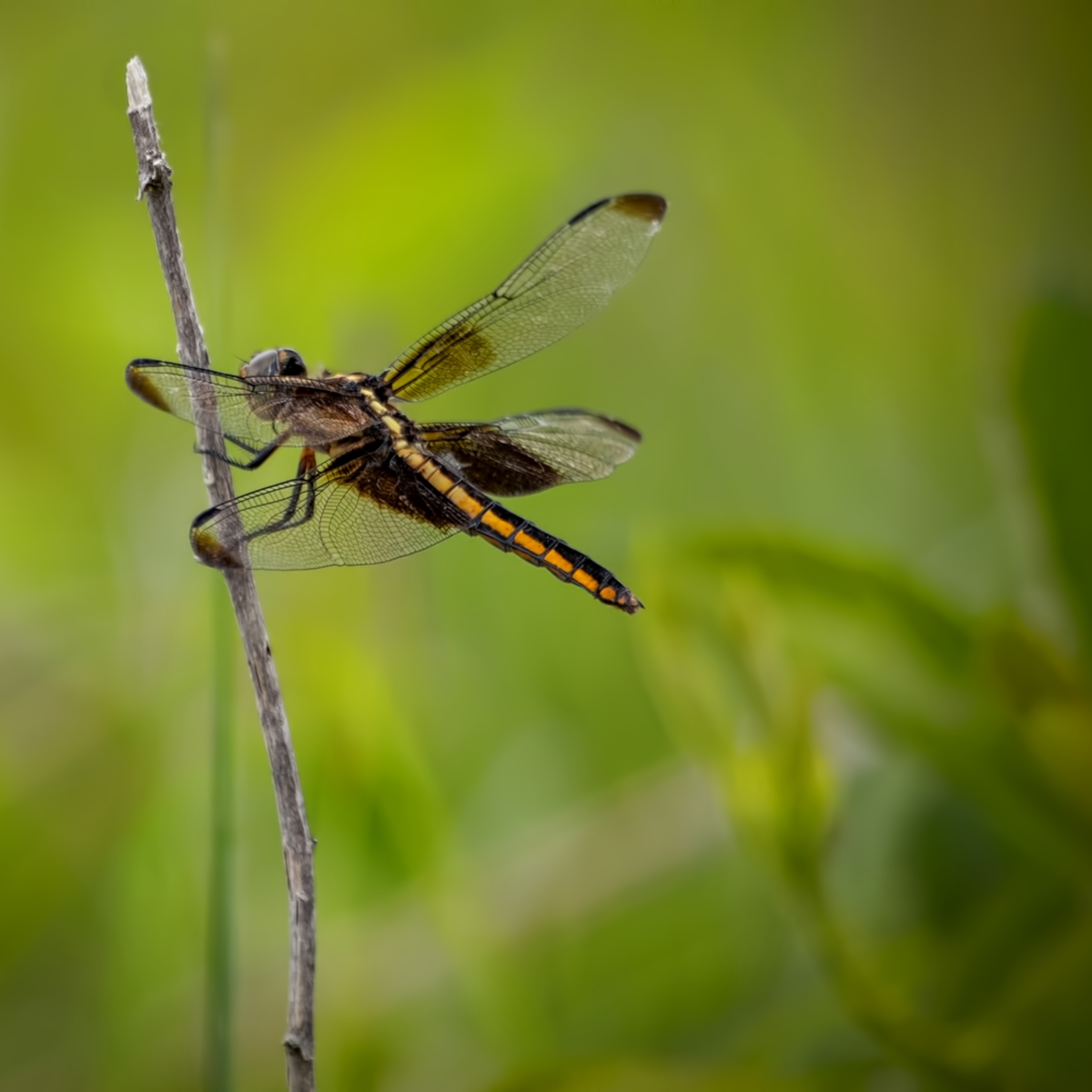 Dragonflies g  mg 6608 20fs koral martin i5wqhe