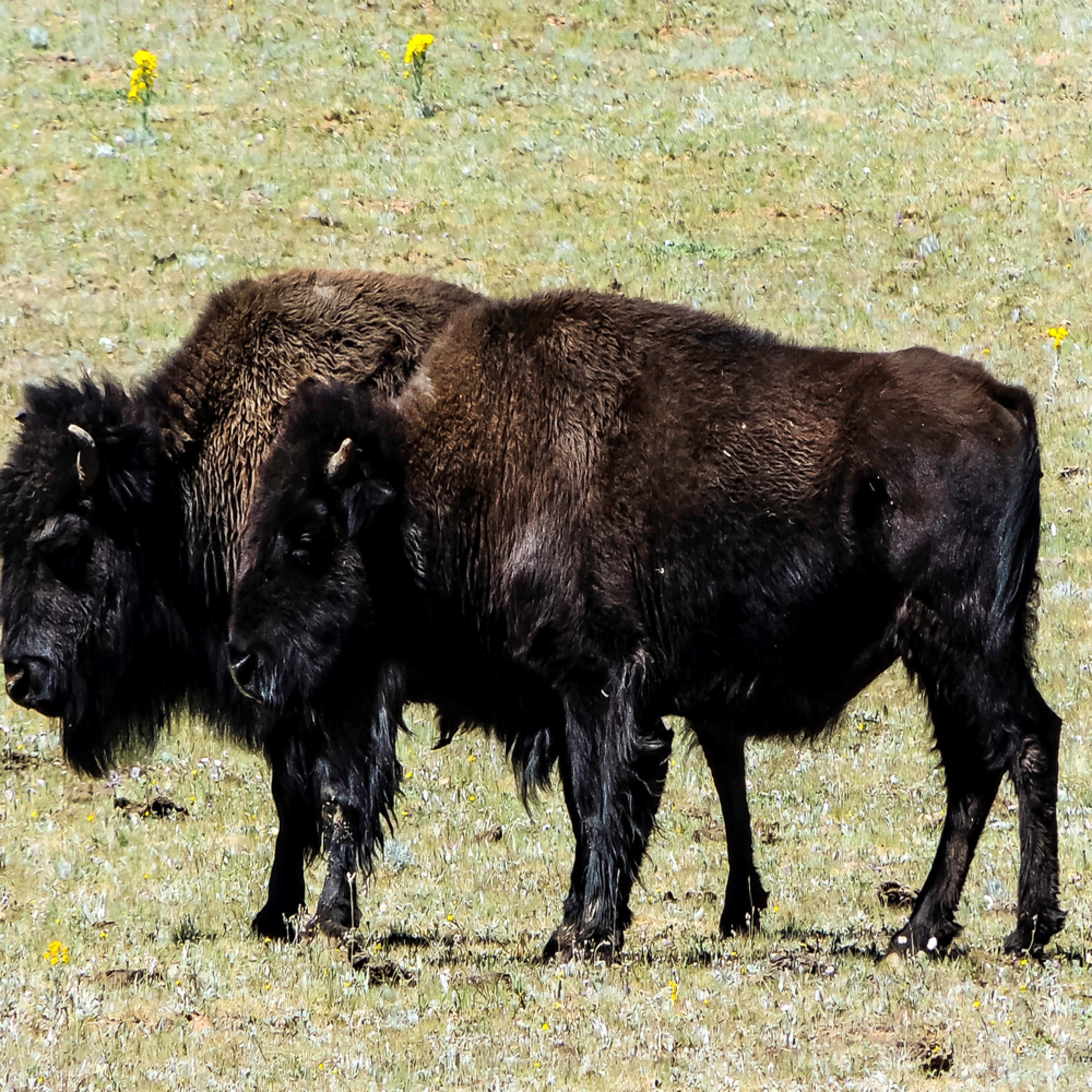 Where the buffalo roam kowvmr