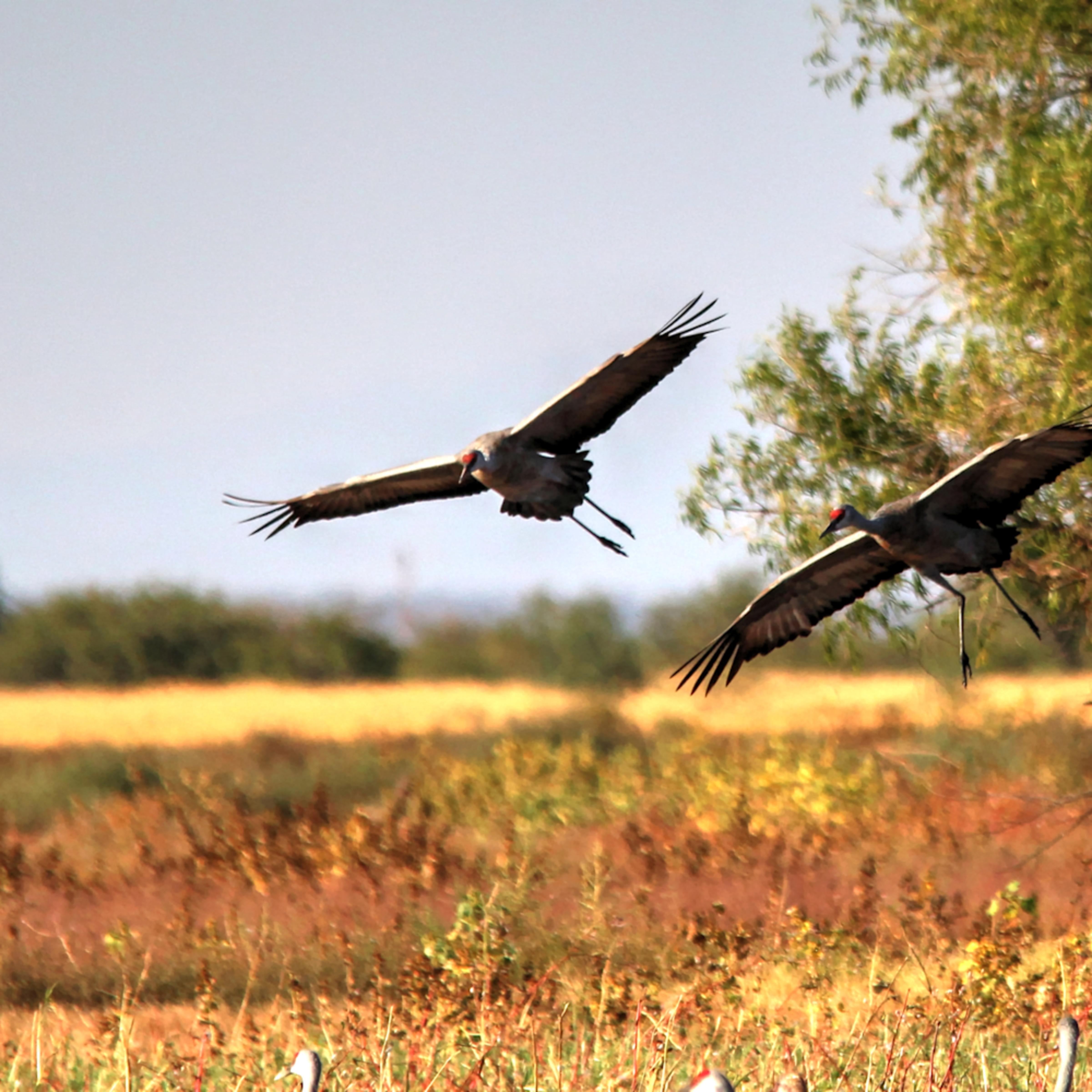 Cranes in flight xszxom