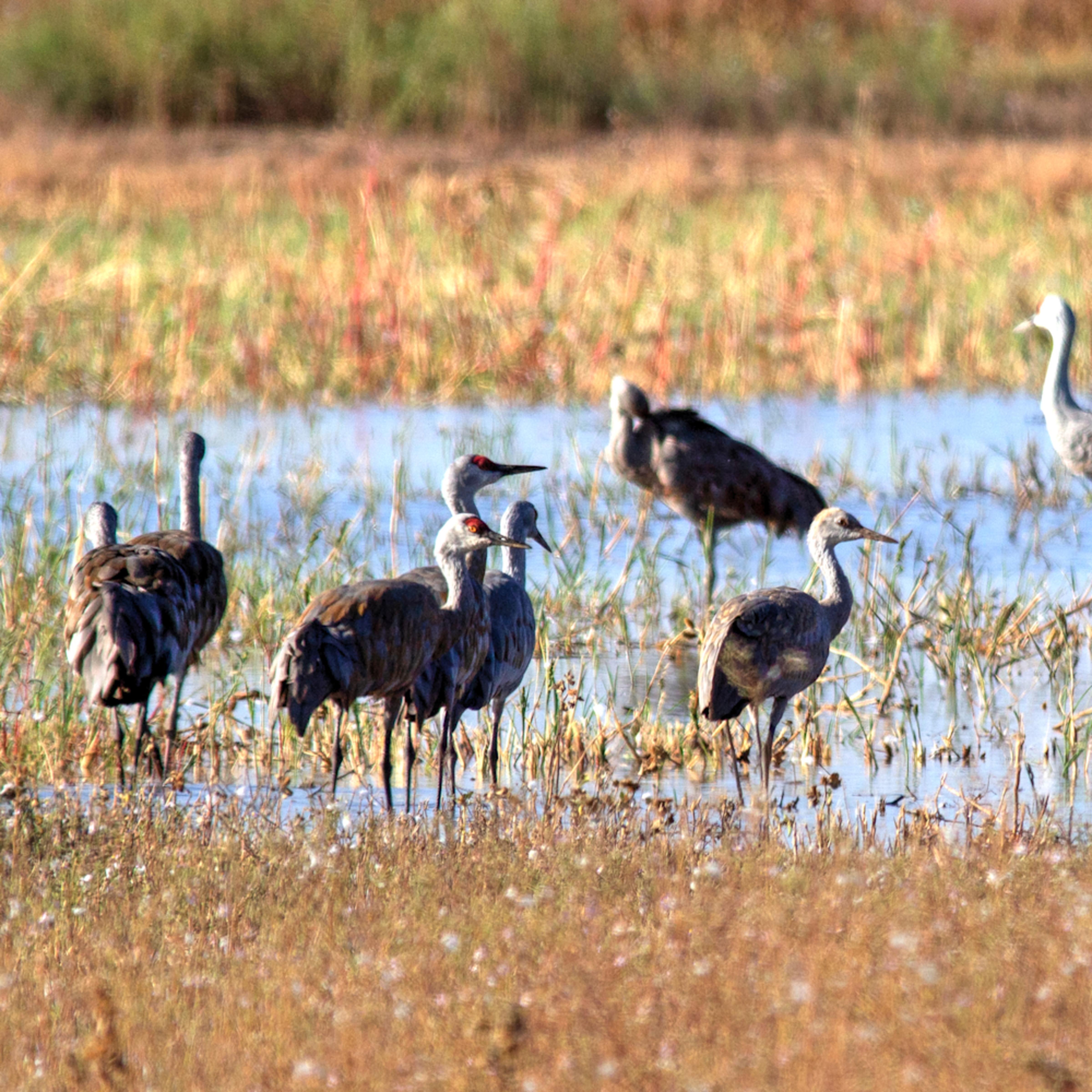 Cranes at whitewater draw u9nu6n