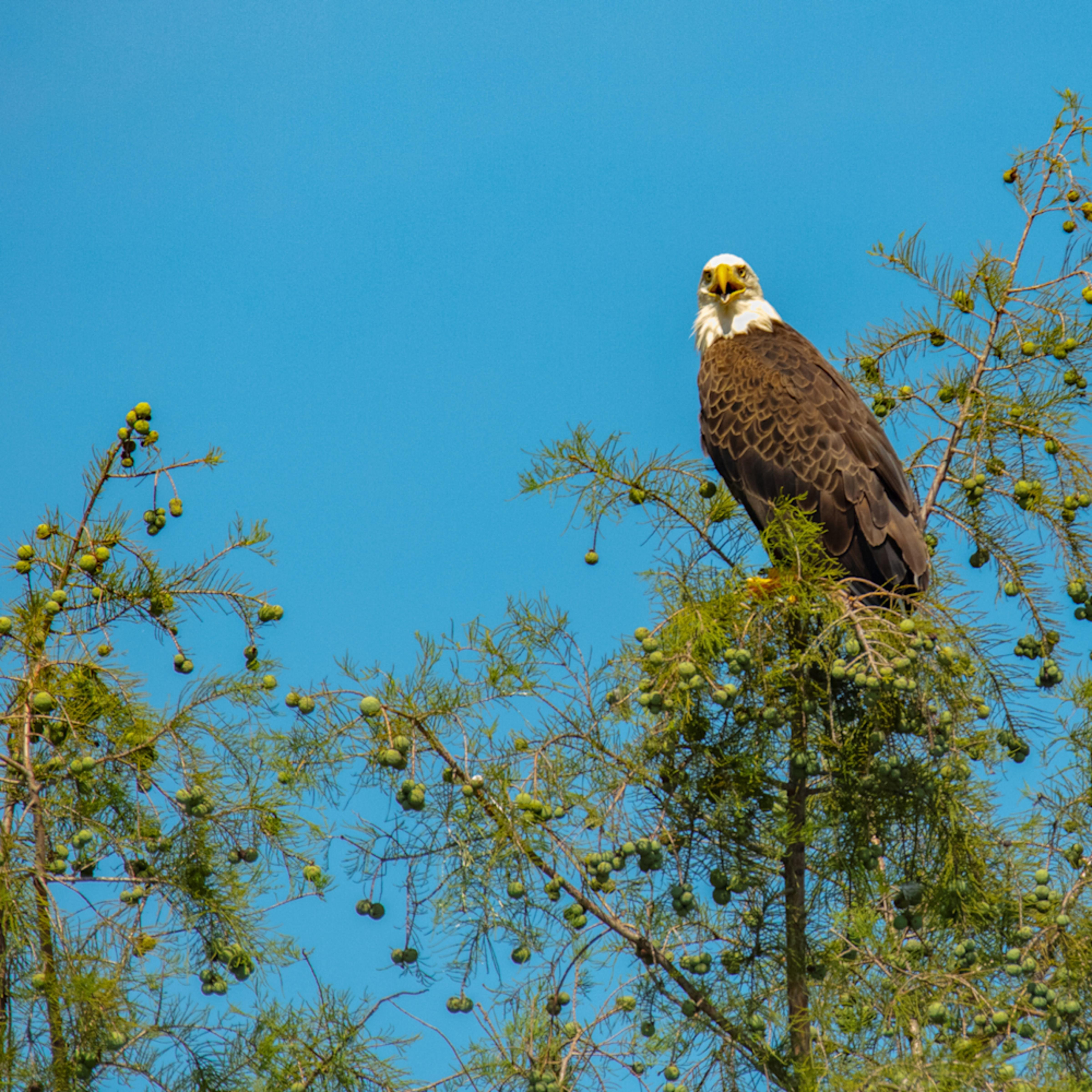 Bald eagle 8876 fss zc7nkj