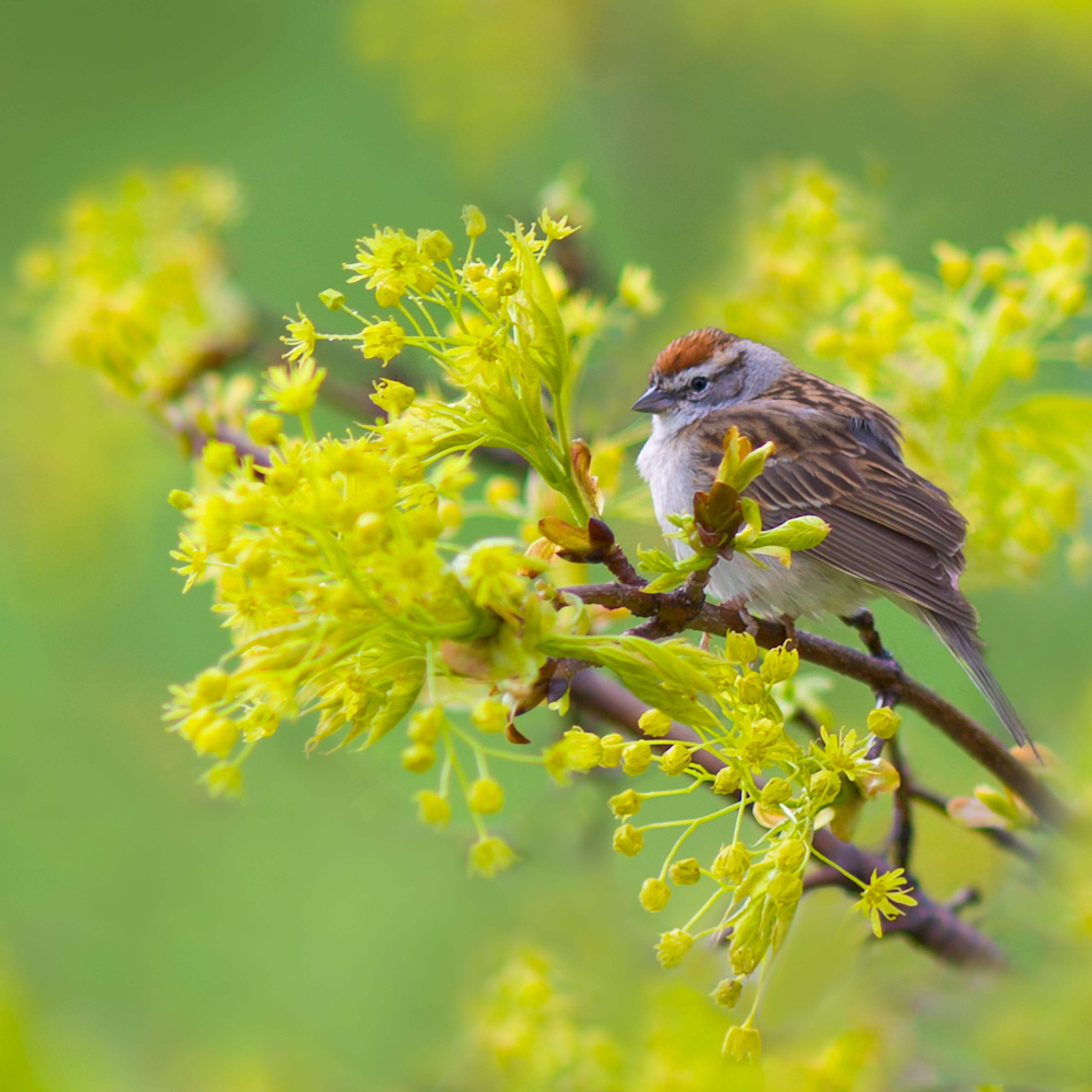 Chipping sparrow 1349 rm9sp1