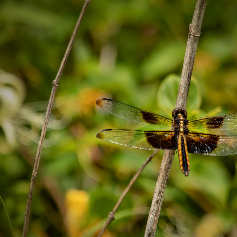 Dragonflies g  mg 6620 20fs koral martin ckqpqa