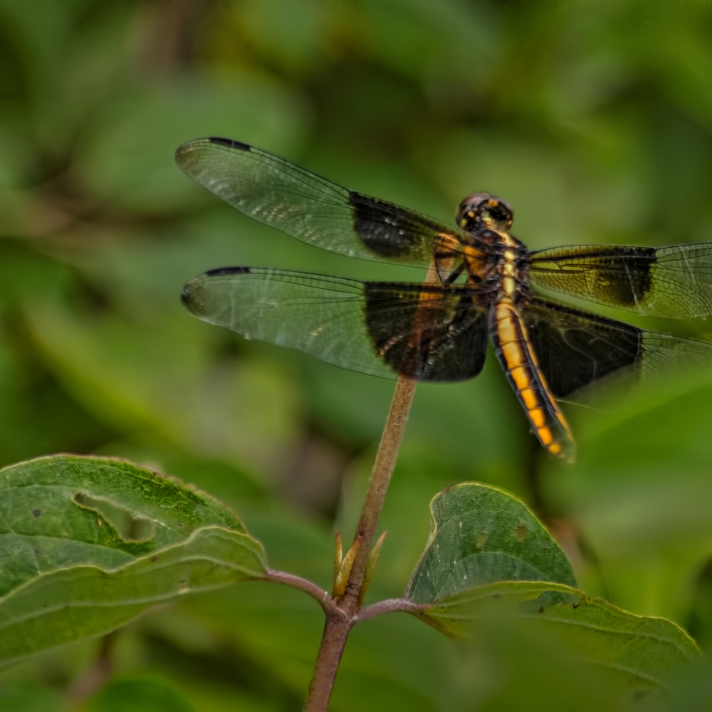 Dragonflies g  mg 6637 20fs koral martin ozmewe