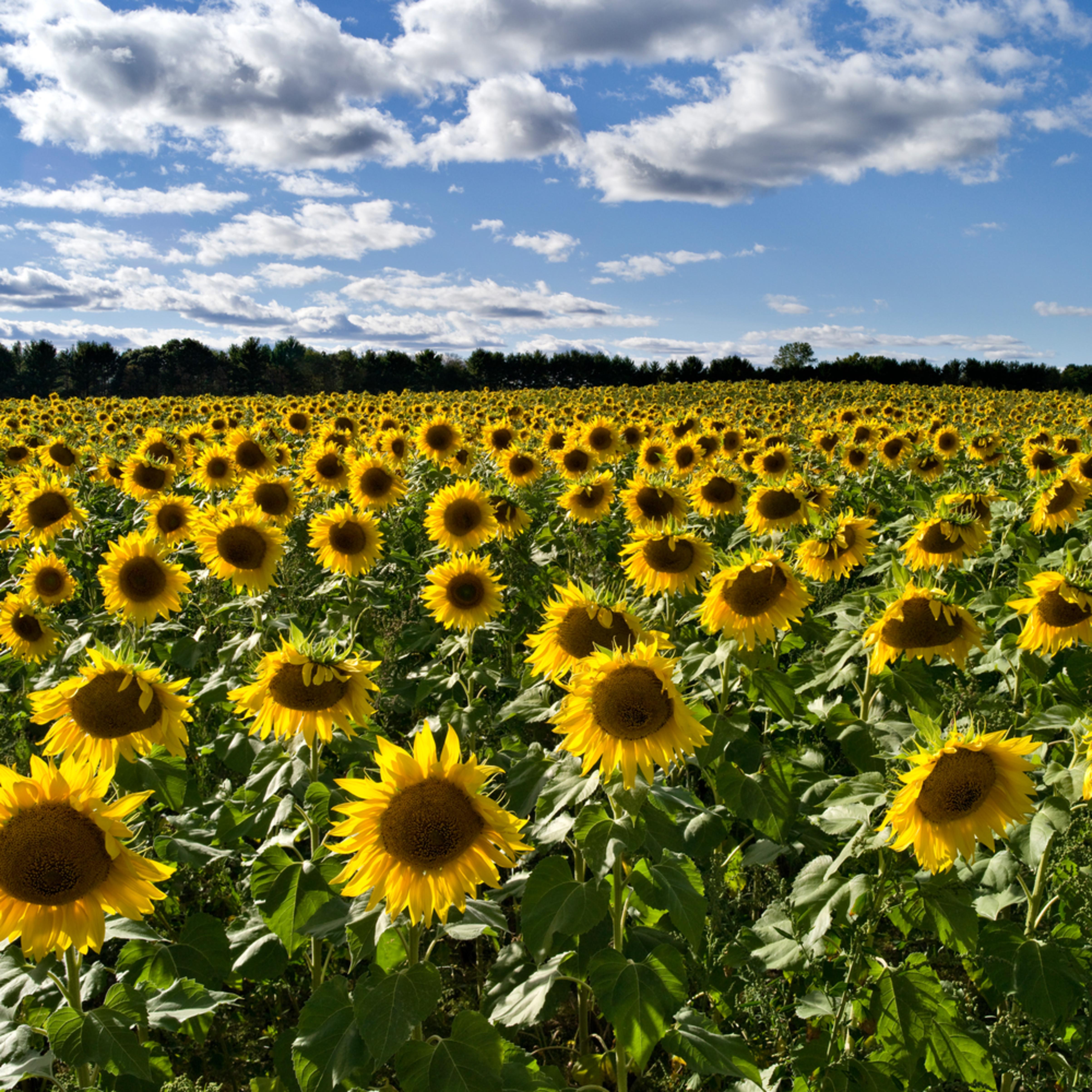 Simply sunflowers ii cdf2wa