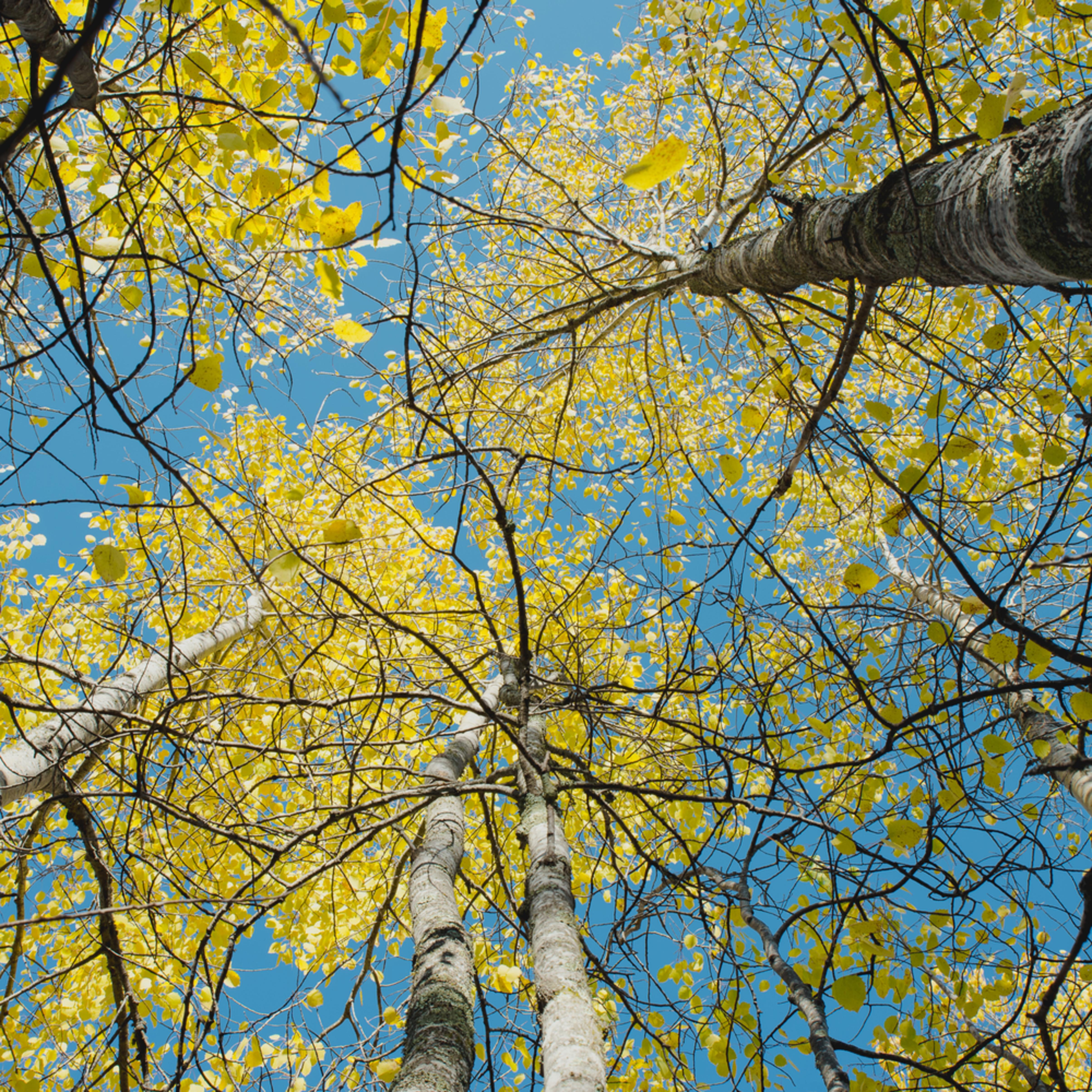 Birch sky heartland trail   ginl1y