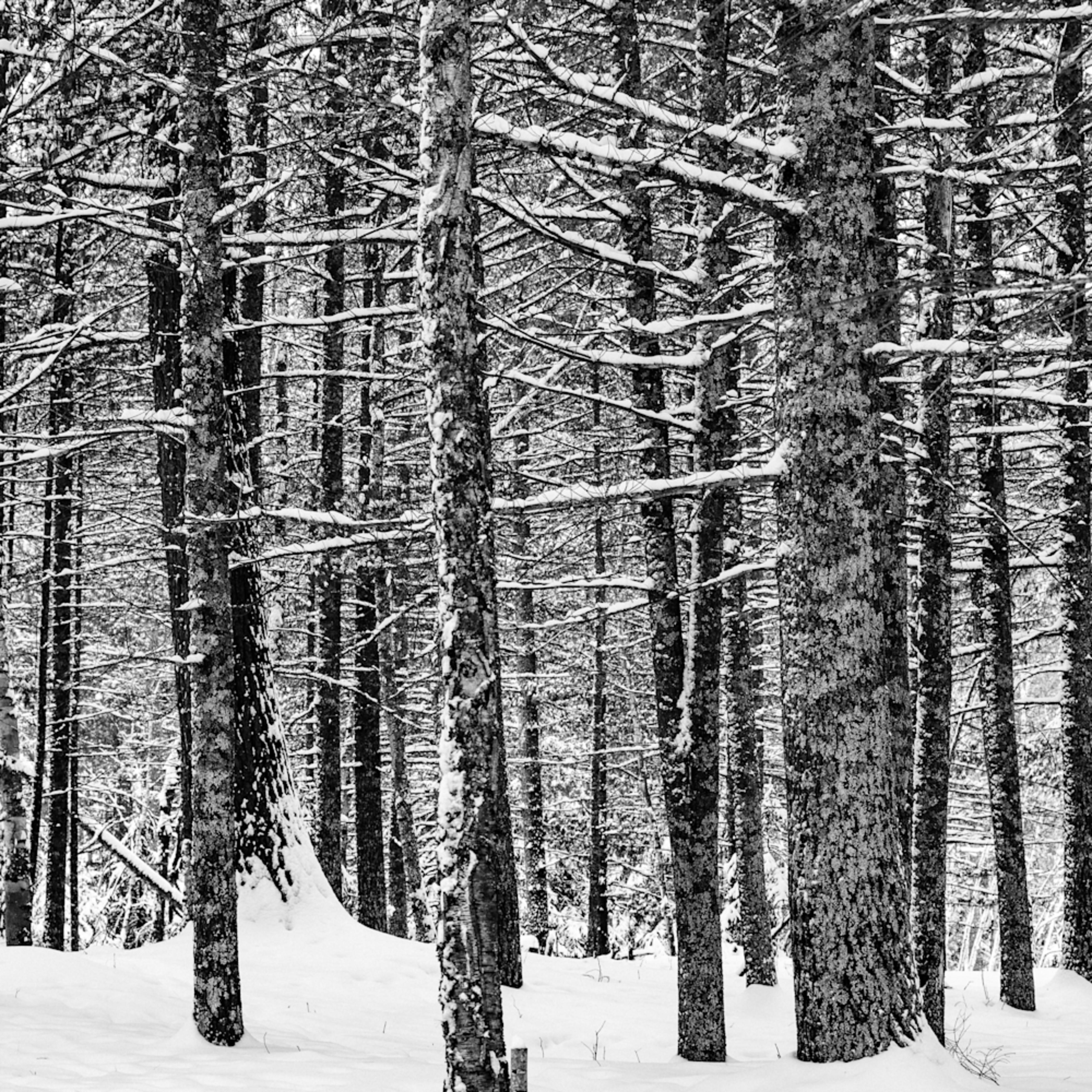 Winter pines petite lake i nbgeoy