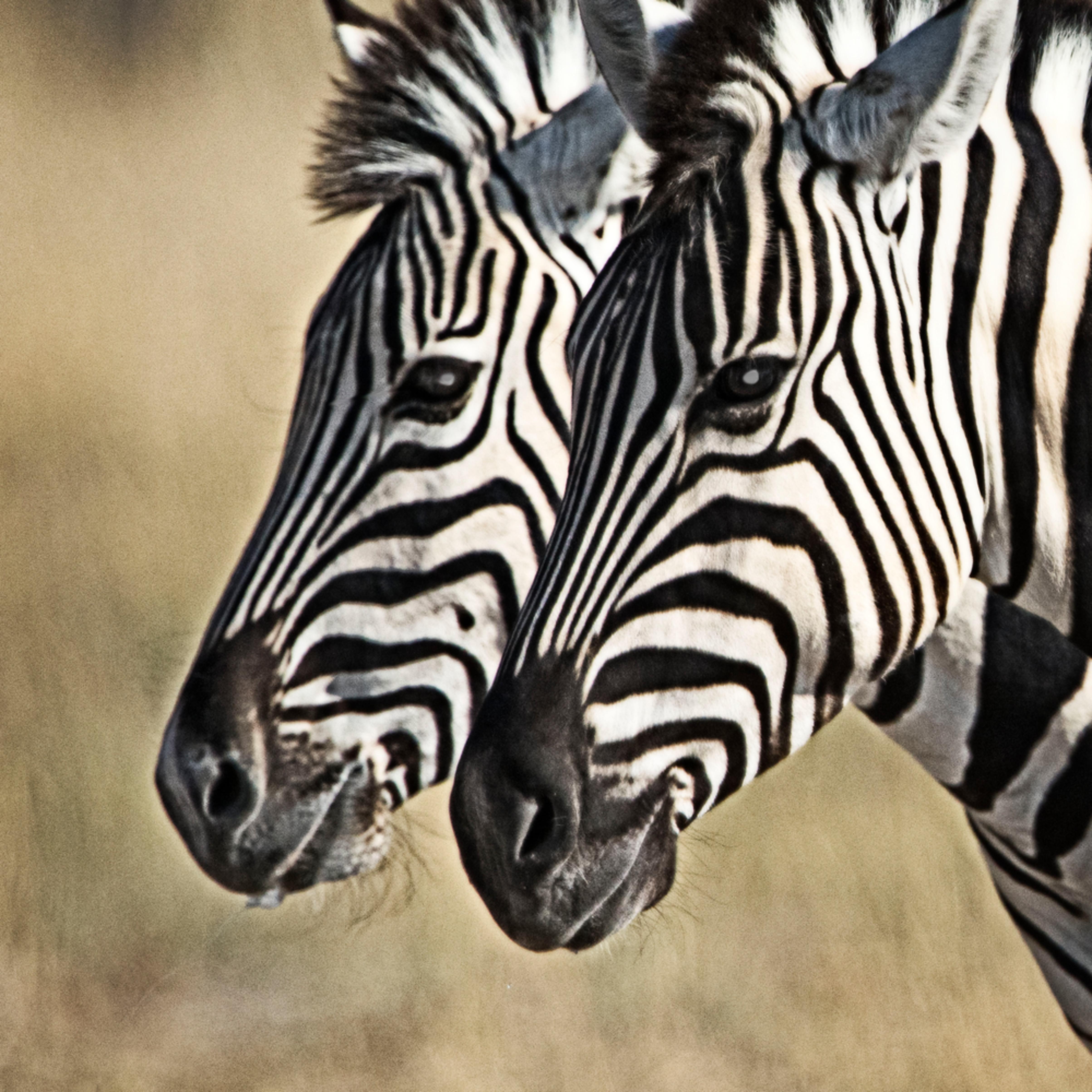 Zebras gazing hemjyr