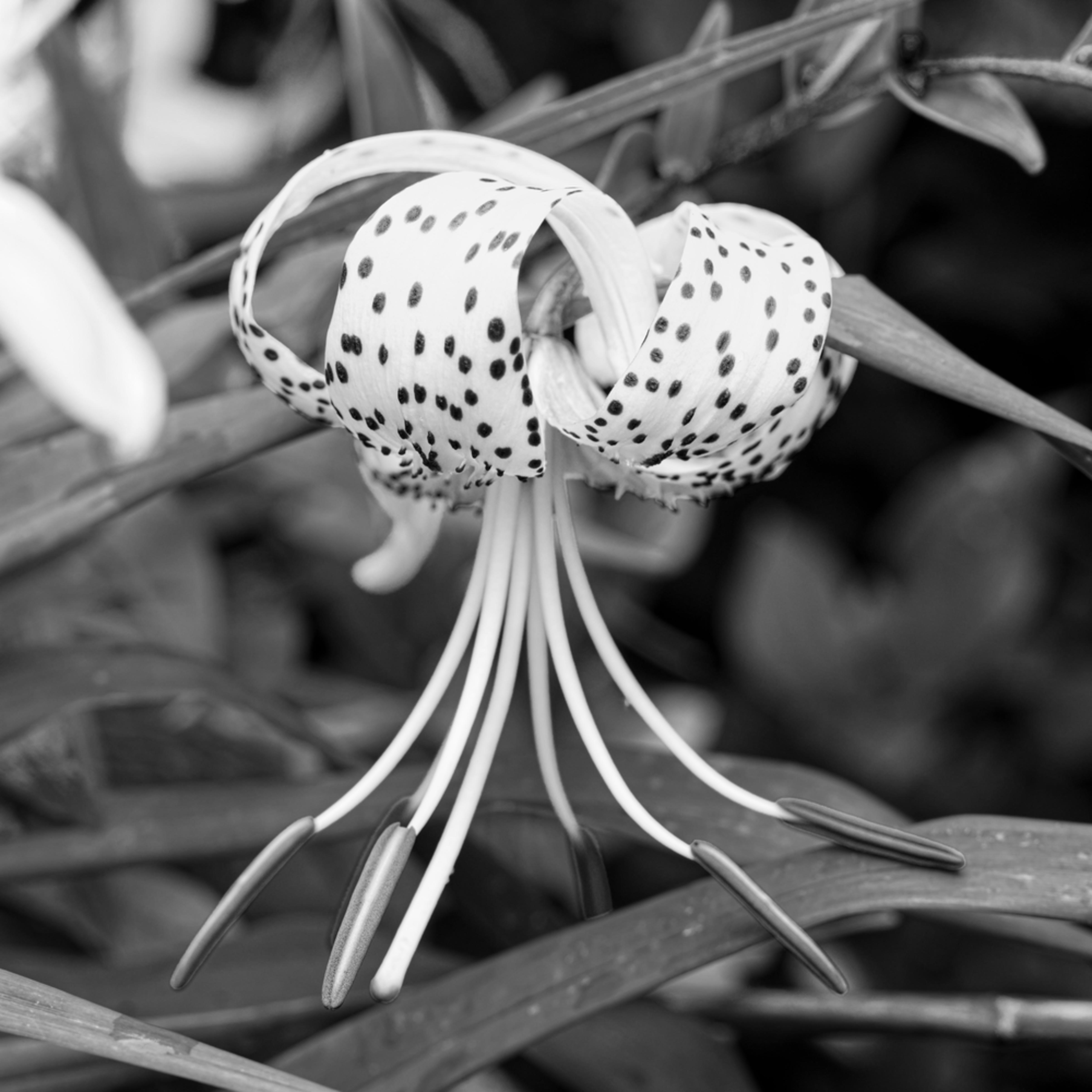 Oriental lily okt3fi