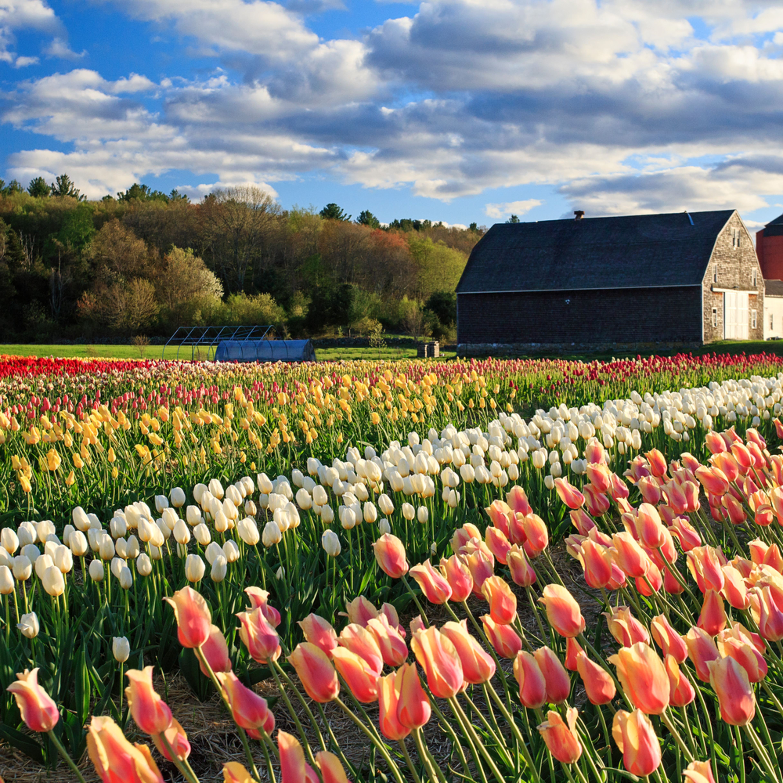 Wicked tulips farm johnston ri 20170503 3764 nvrrsu