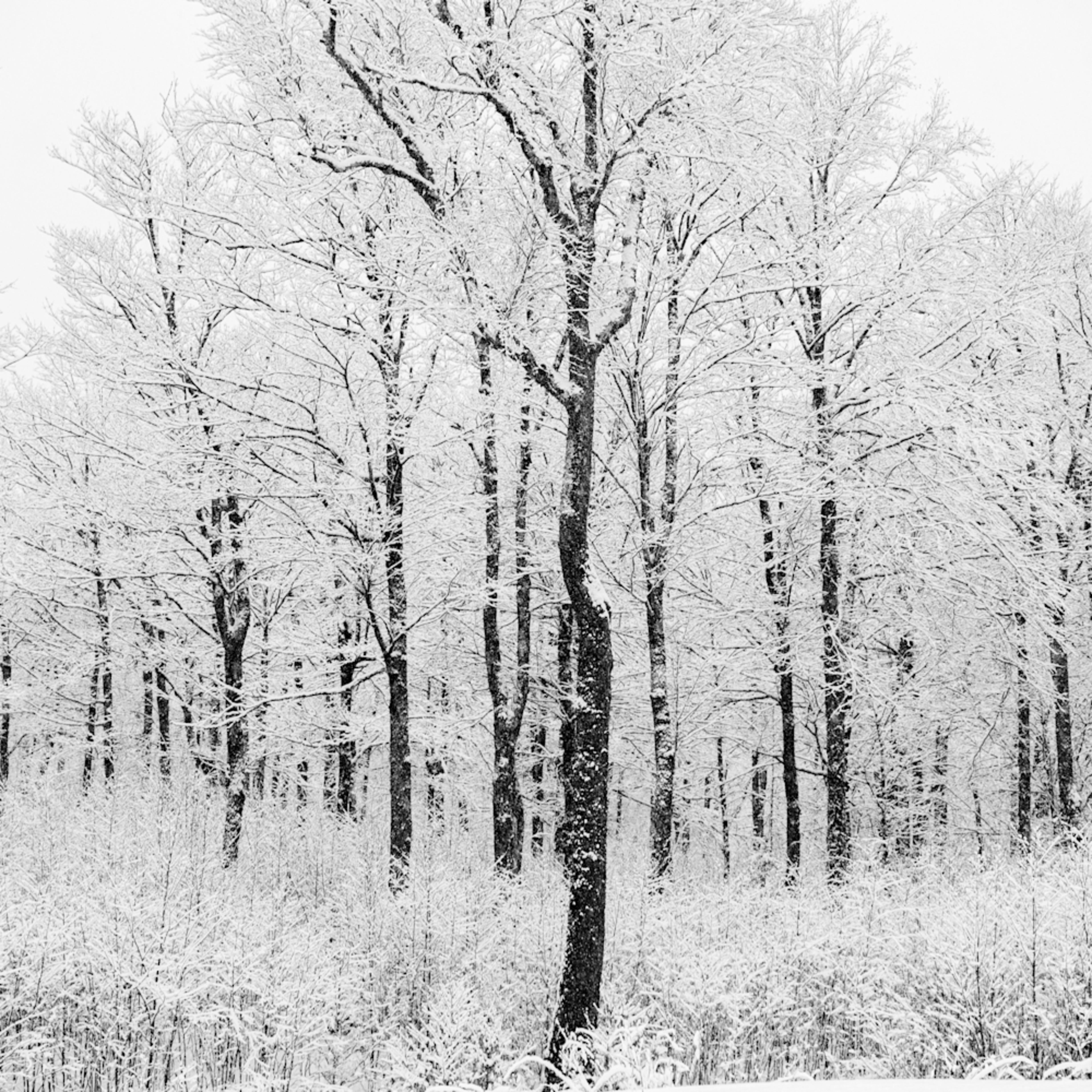 Bw winter trees v1 gidp27
