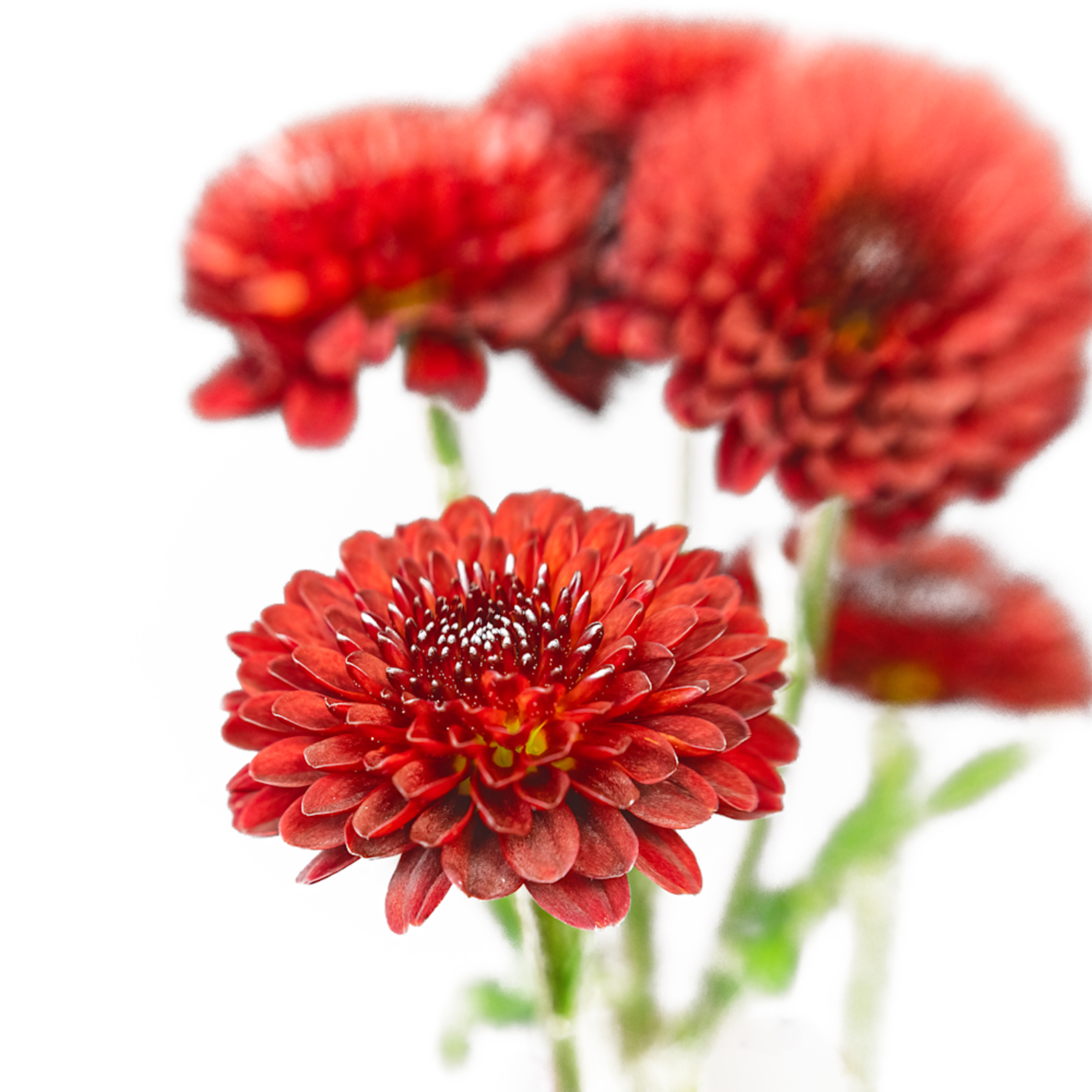 Red mums swmtbd