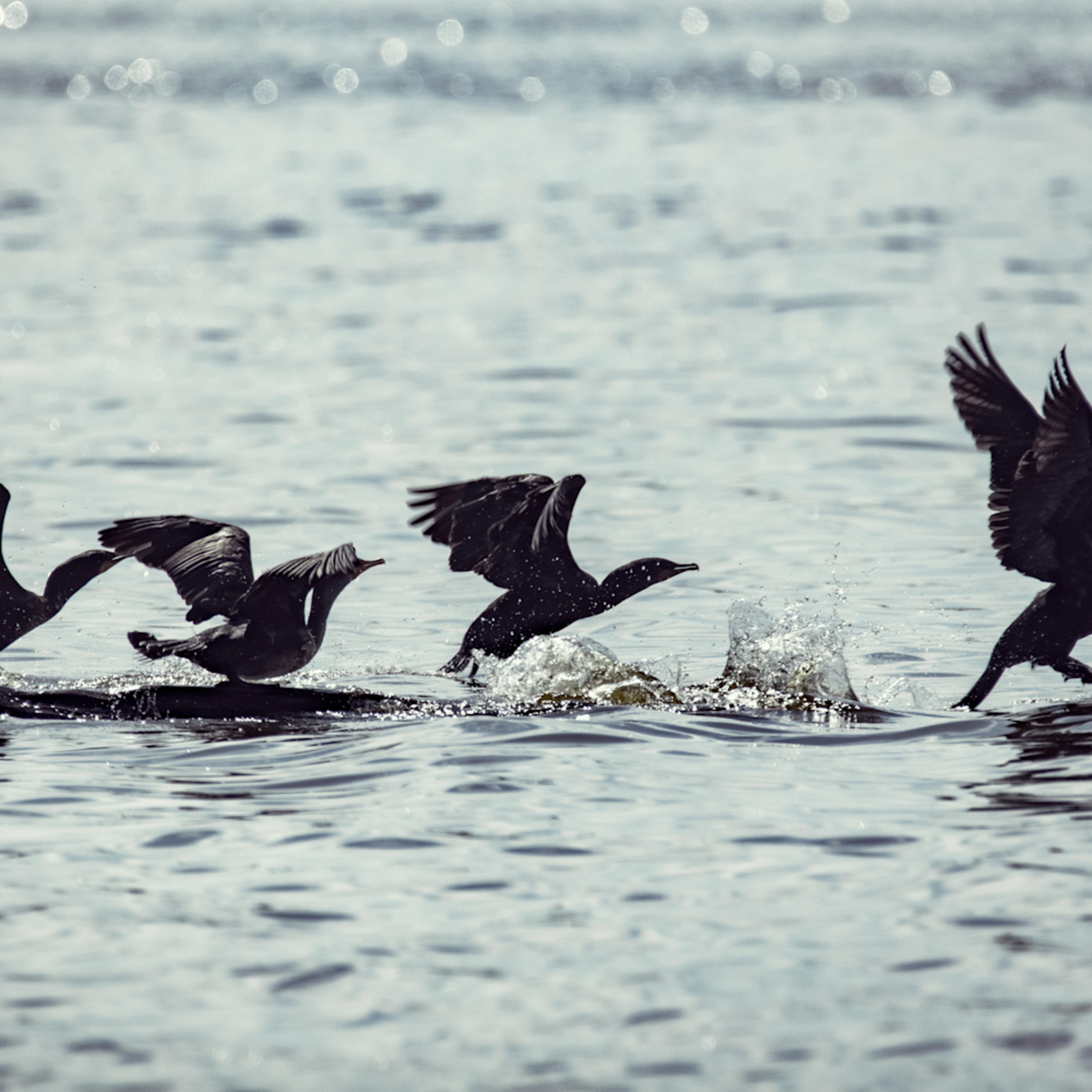 Cormorants takingflight 8761 fss xm1ibh