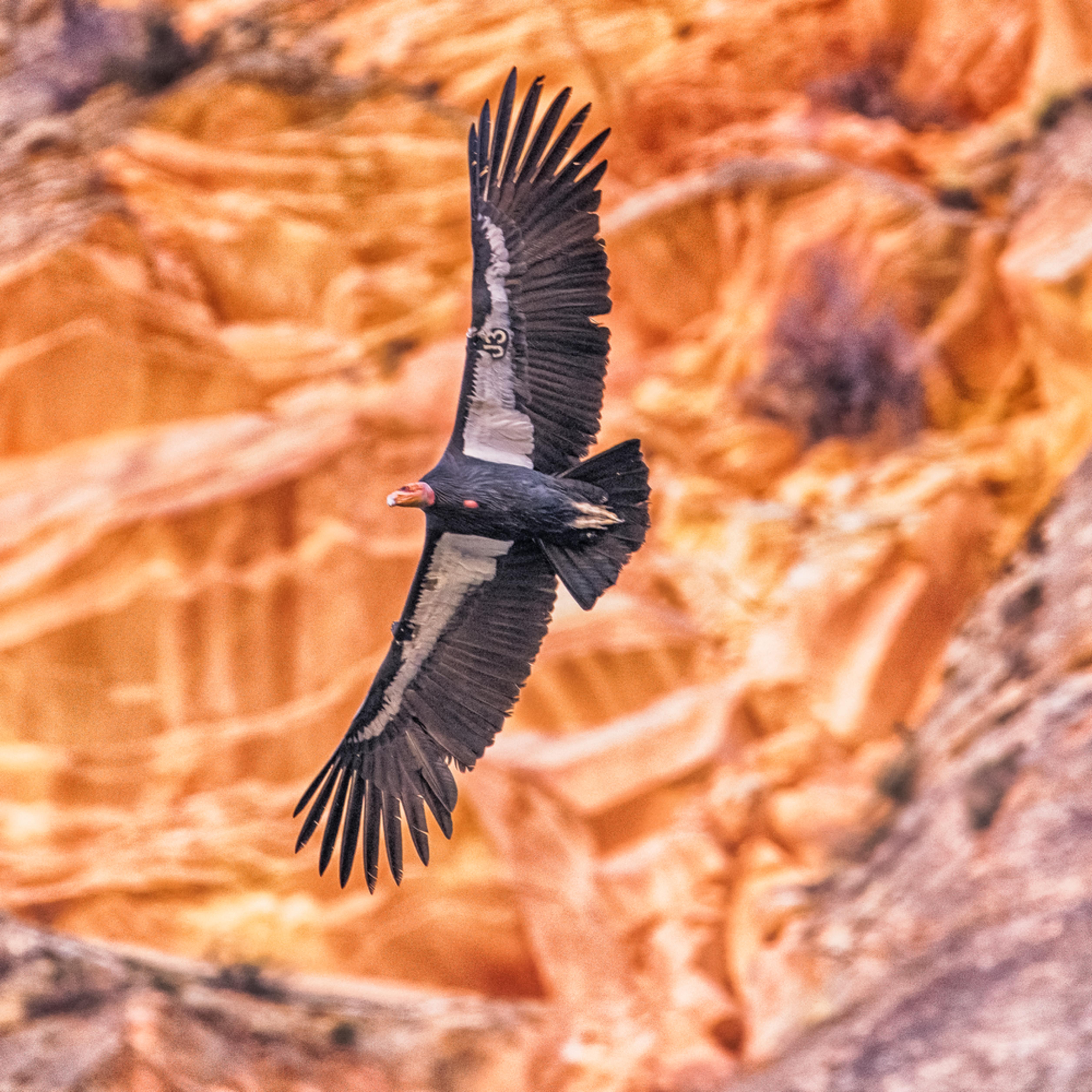 Zion california condor 2 xcwdig