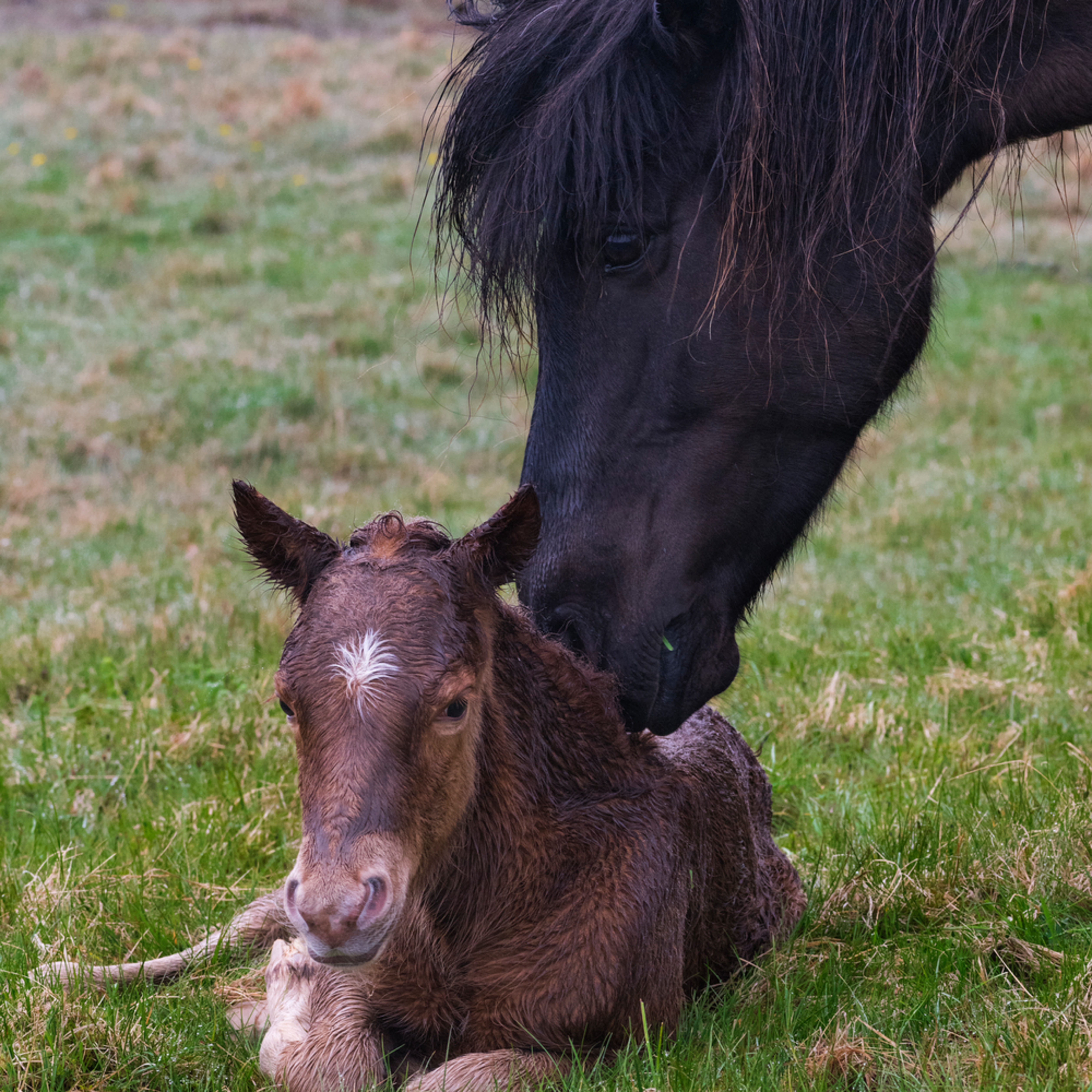 Icelandic horse nudging foal u2kzeo