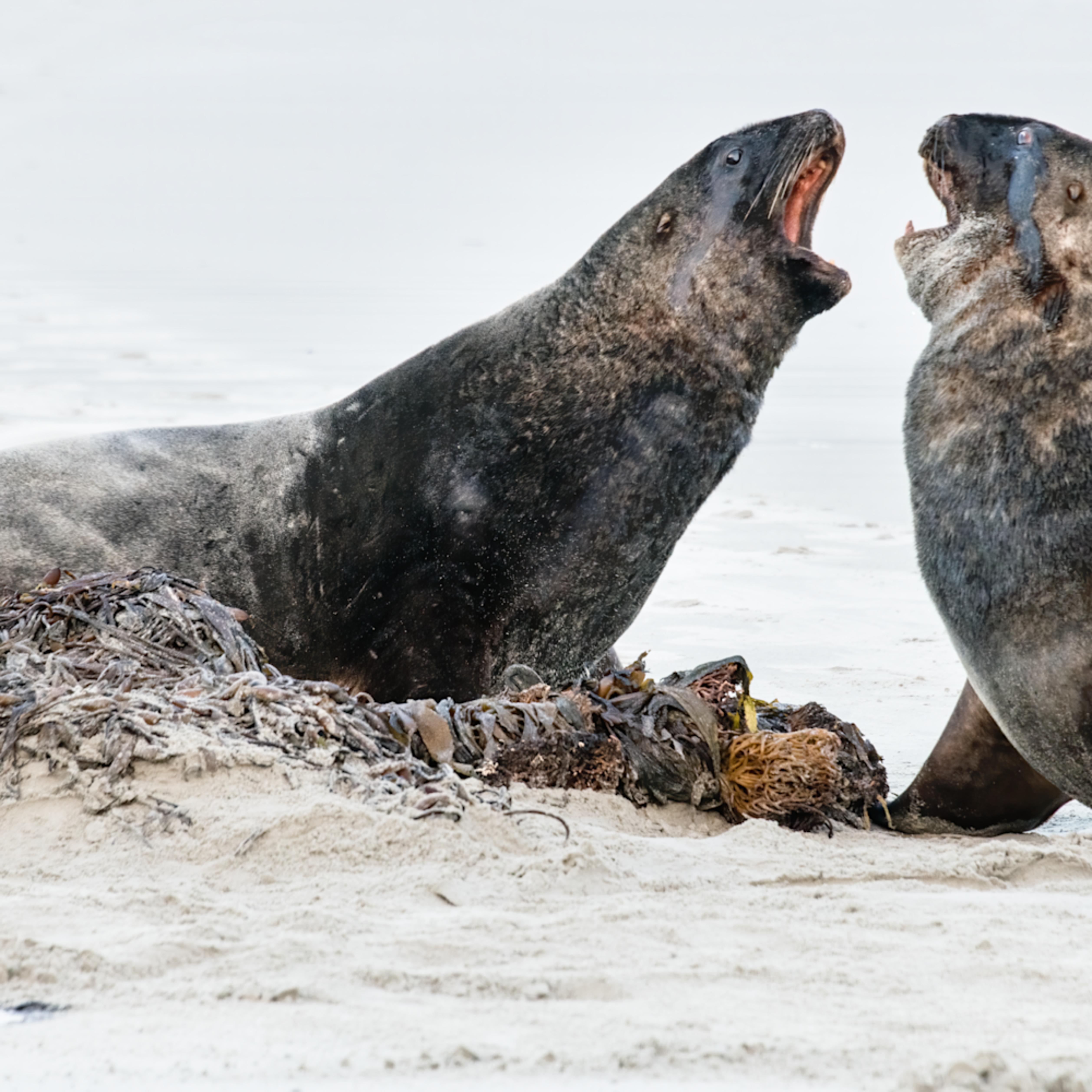 dsc5586 hooker sea lions onpzxl