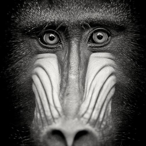 Eyes of a mandrill matt jx7uhu