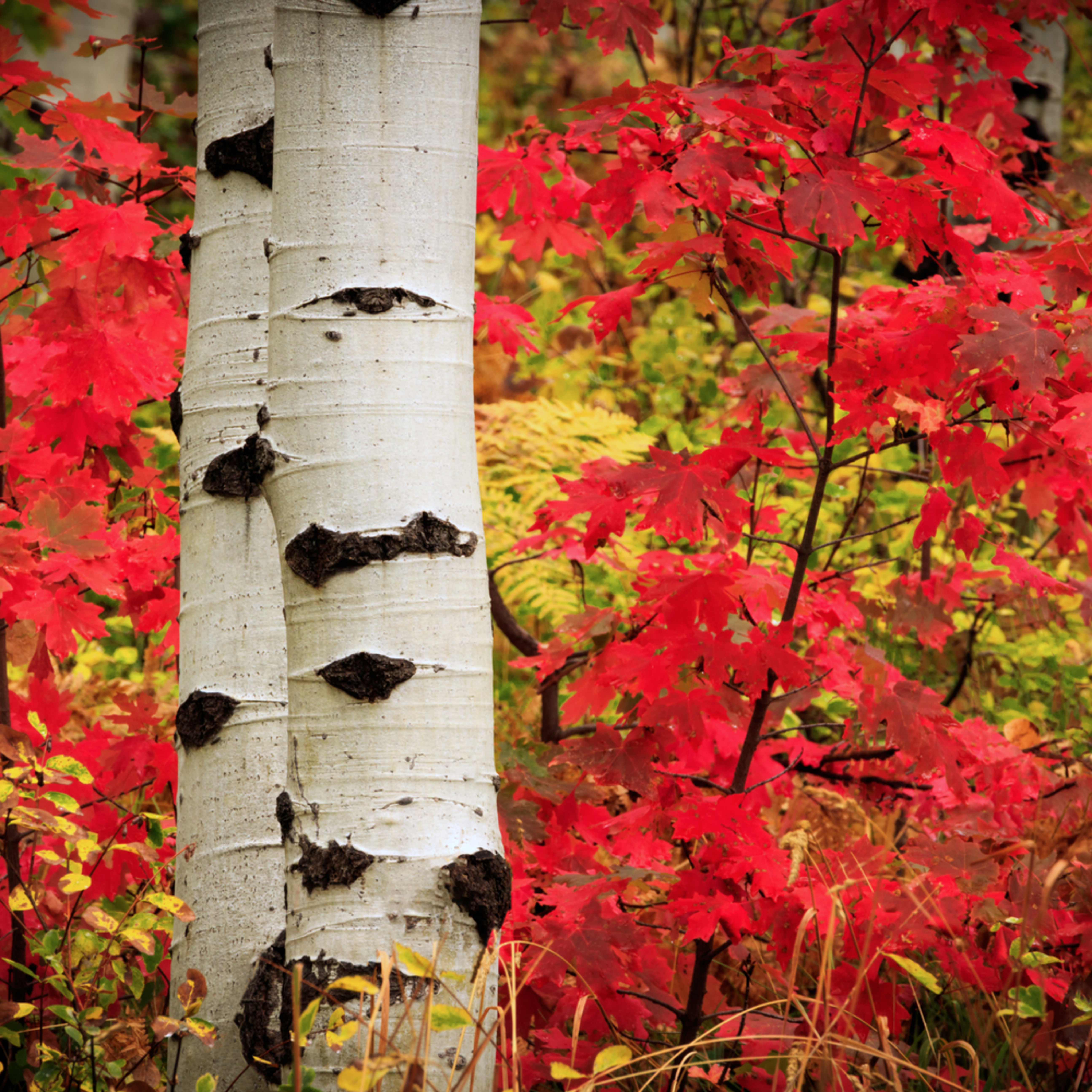 Aspens with red maple lbg6jz