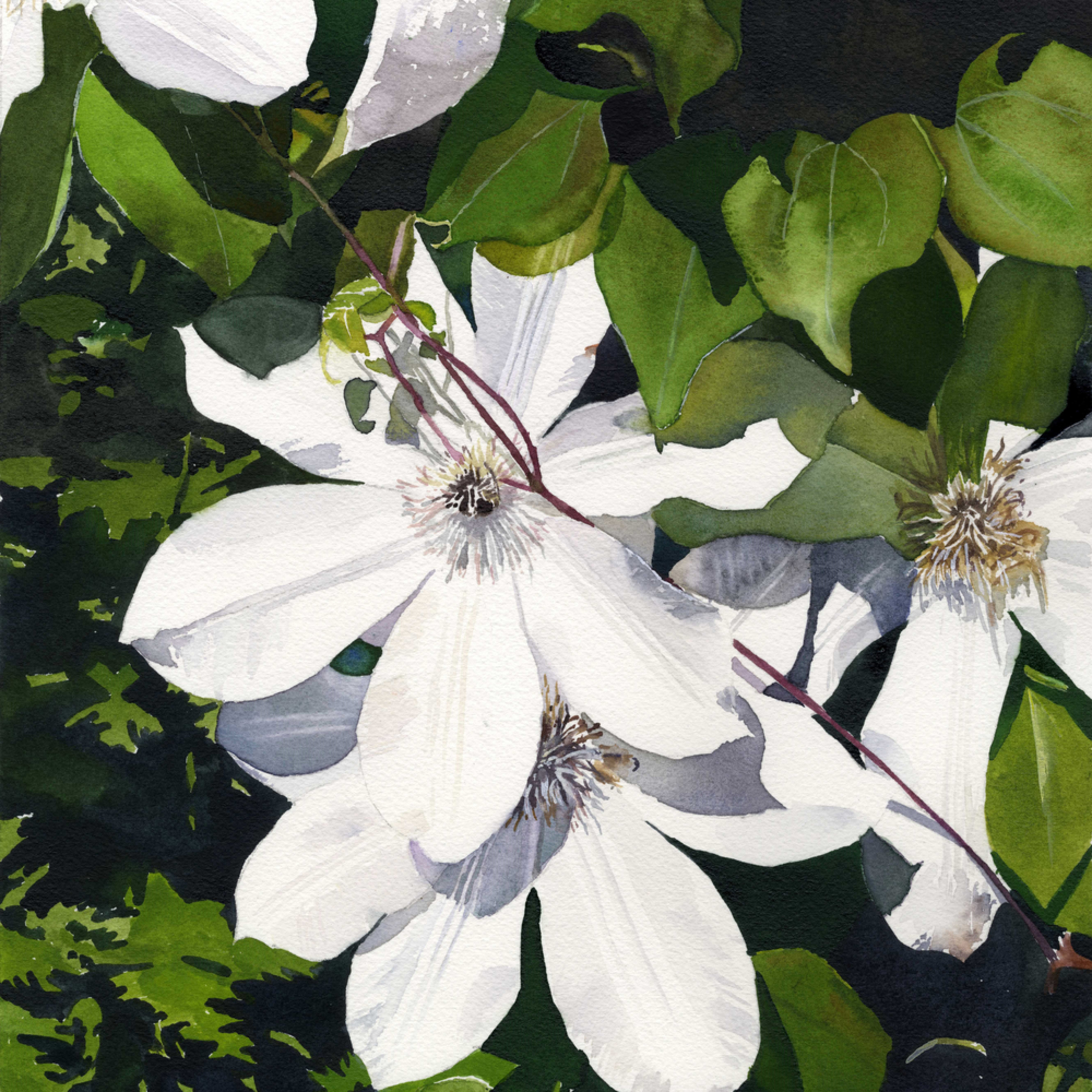 White clematis asf printed w3zahl
