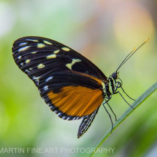 Black orange butterfly on leaf 3735 slqysj
