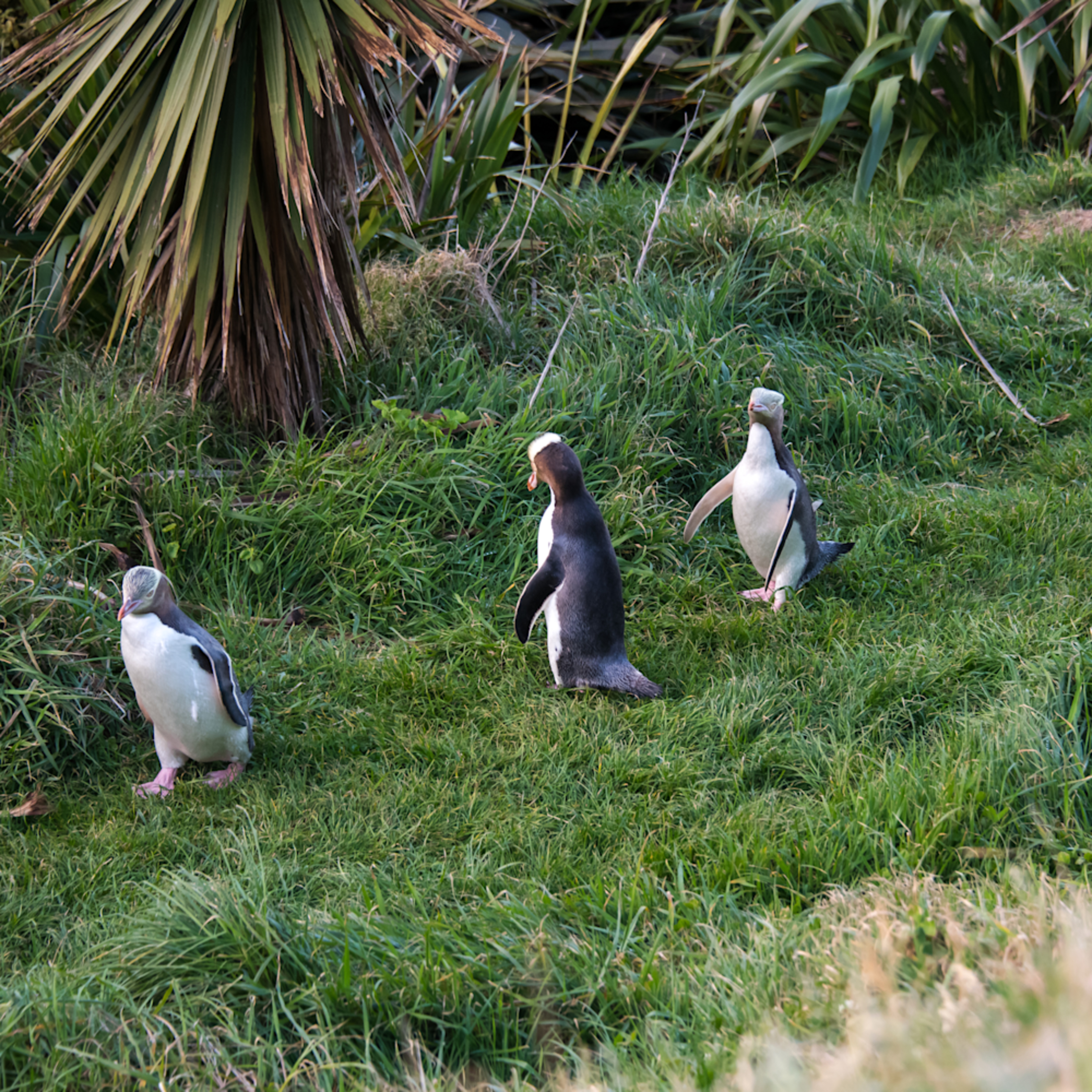 dsc5461 yellow eyed penguin threesome kzs0le