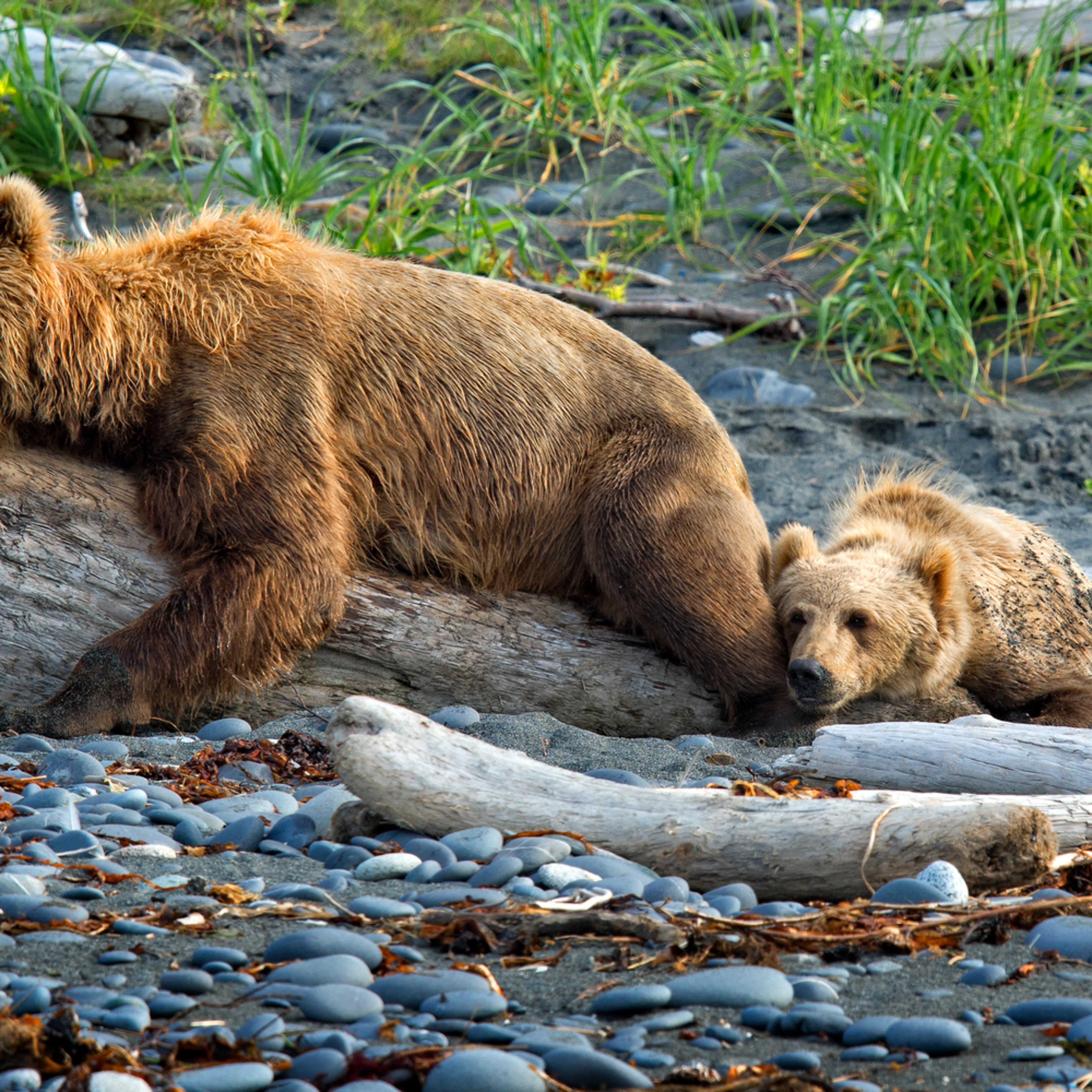 Bear on a log qwrolc
